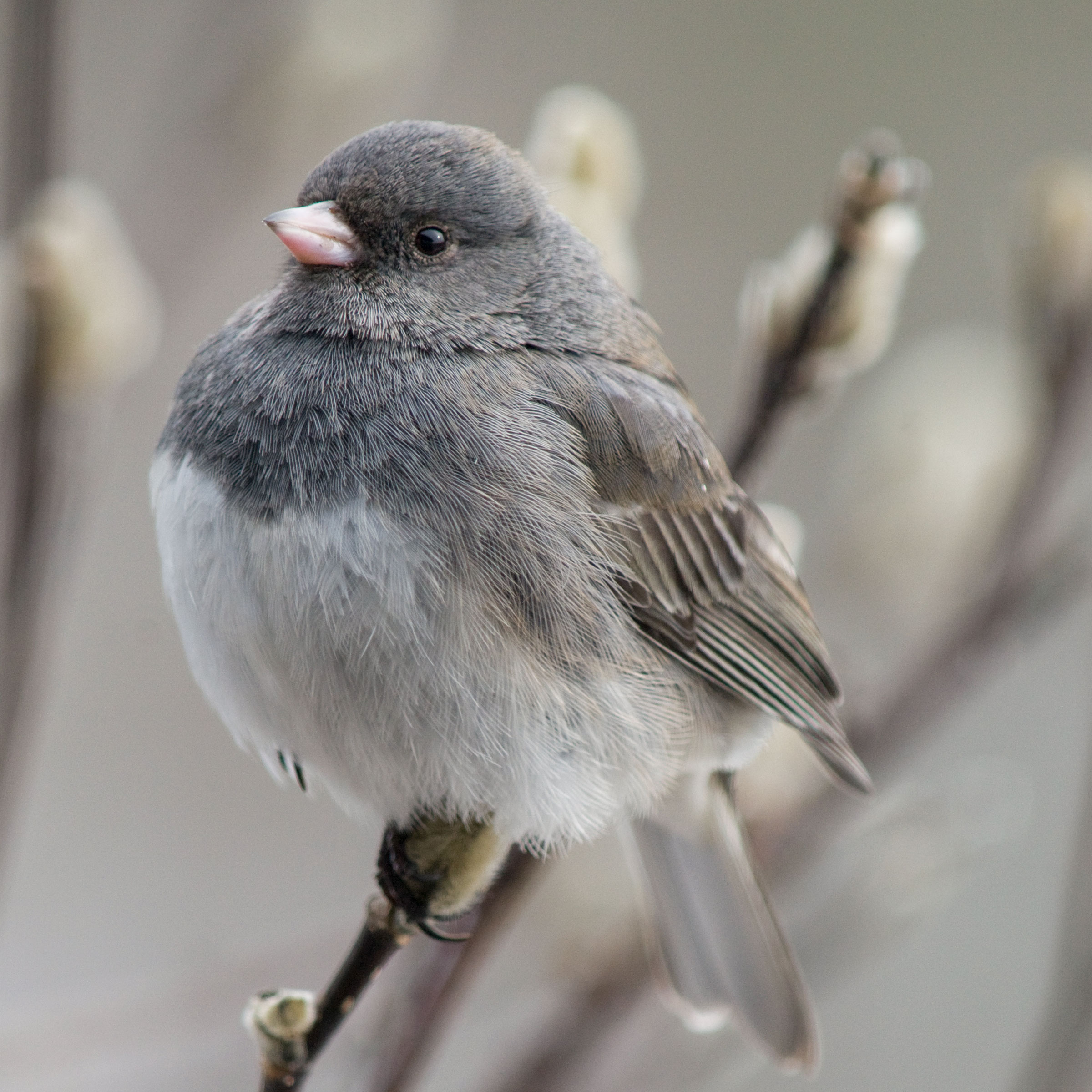 Dark-eyed Junco (birb). Michele Black/Great Backyard Bird Count
