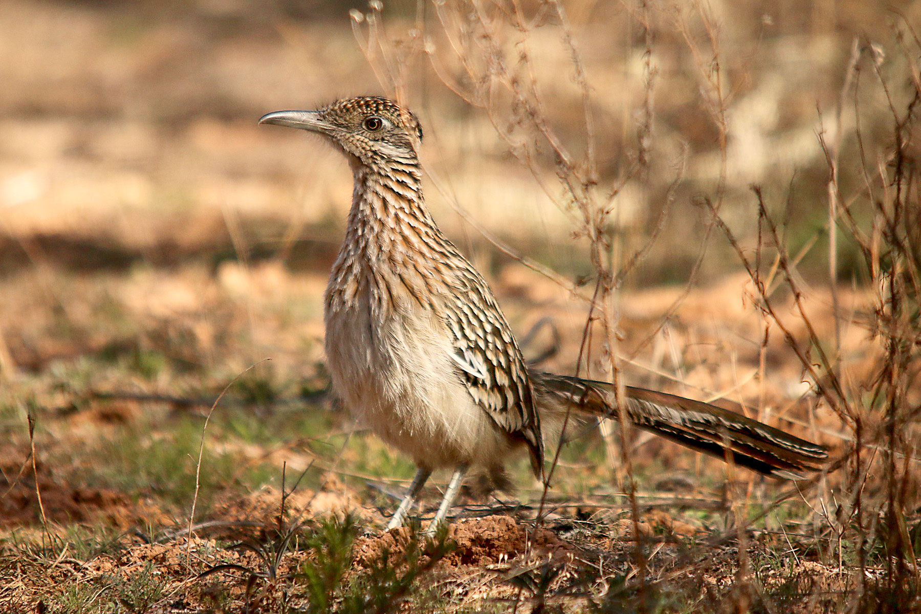 Greater Roadrunner. Gary Botello/Great Backyard Bird Count
