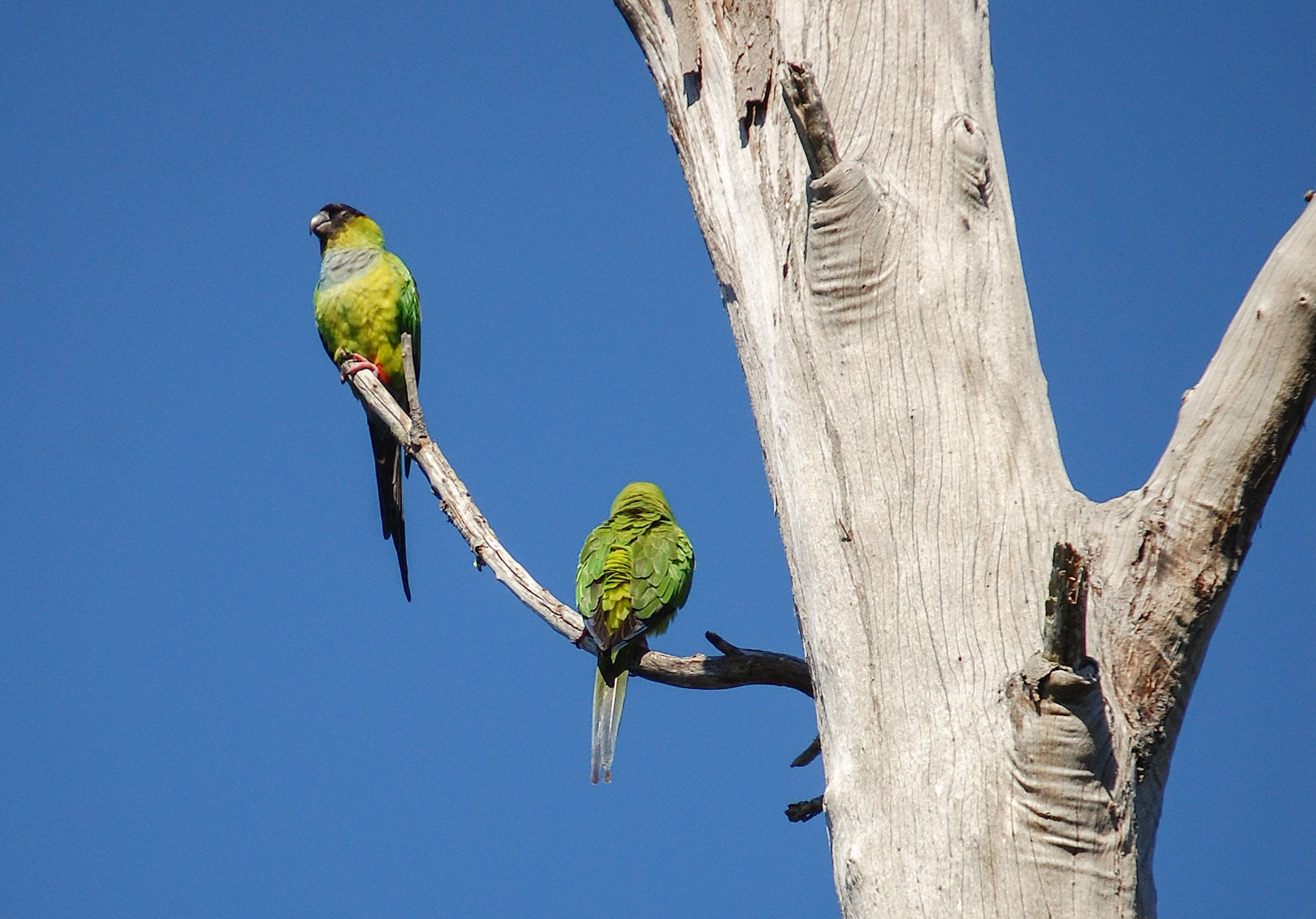 Nanday Parakeets have established large feral populations around Los Angeles, Tampa, Florida's southeastern coast, and near Phoenix. Scott Kinsey/Great Backyard Bird Count