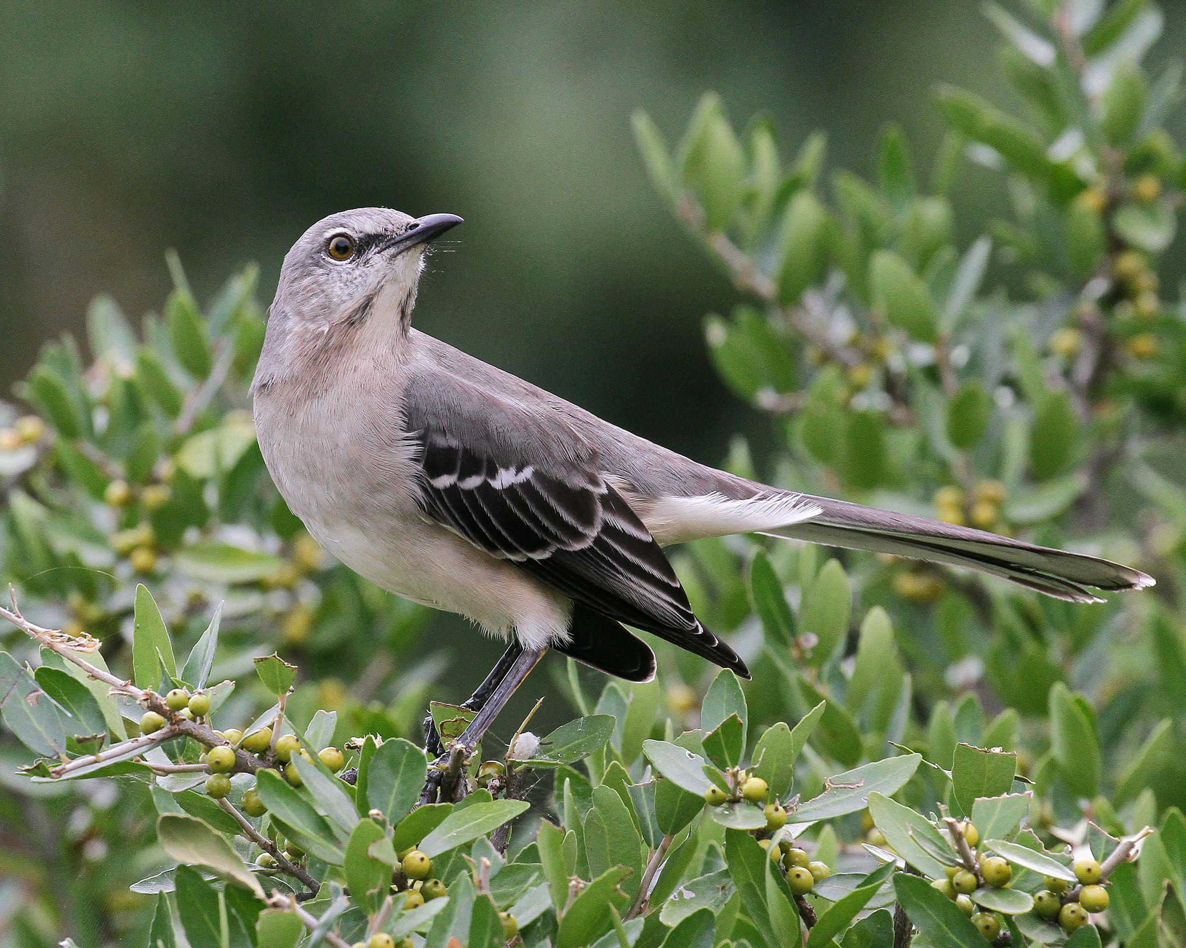 Northern Mockingbird. John Pizniur/Great Backyard Bird Count
