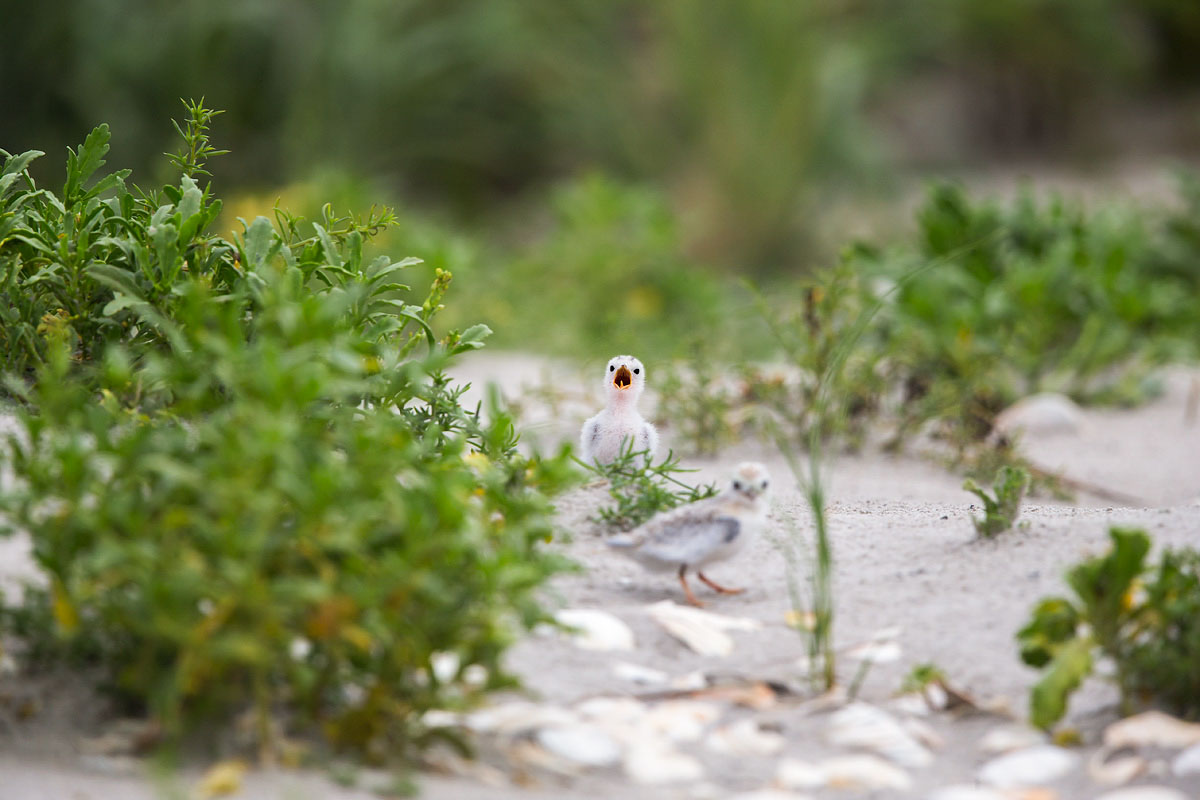These older Least Tern chicks are mobile—and prone to wandering beyond symbolic string fencing around their colony. Jim Verhagen