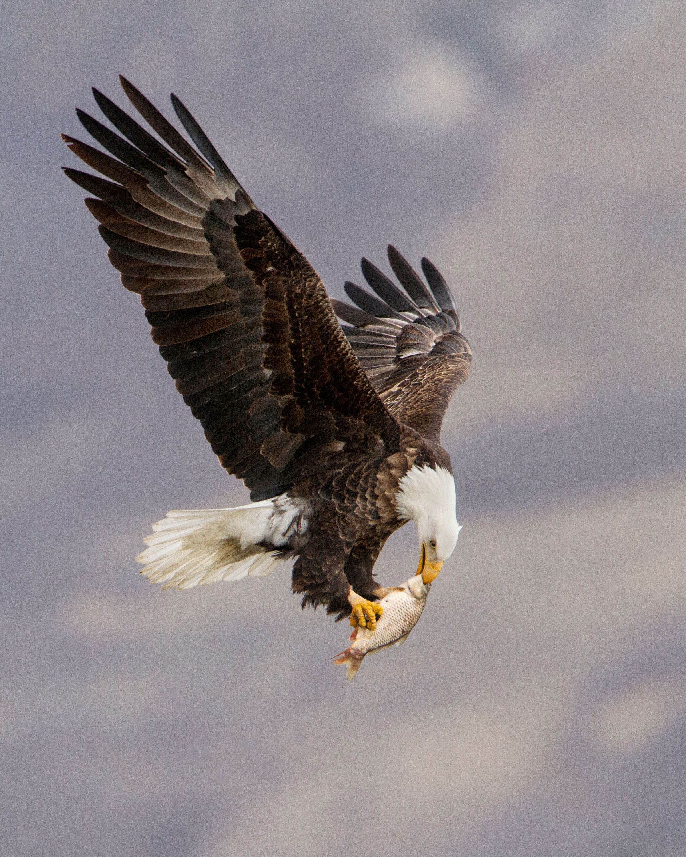 Bald Eagle. Ron Dudley