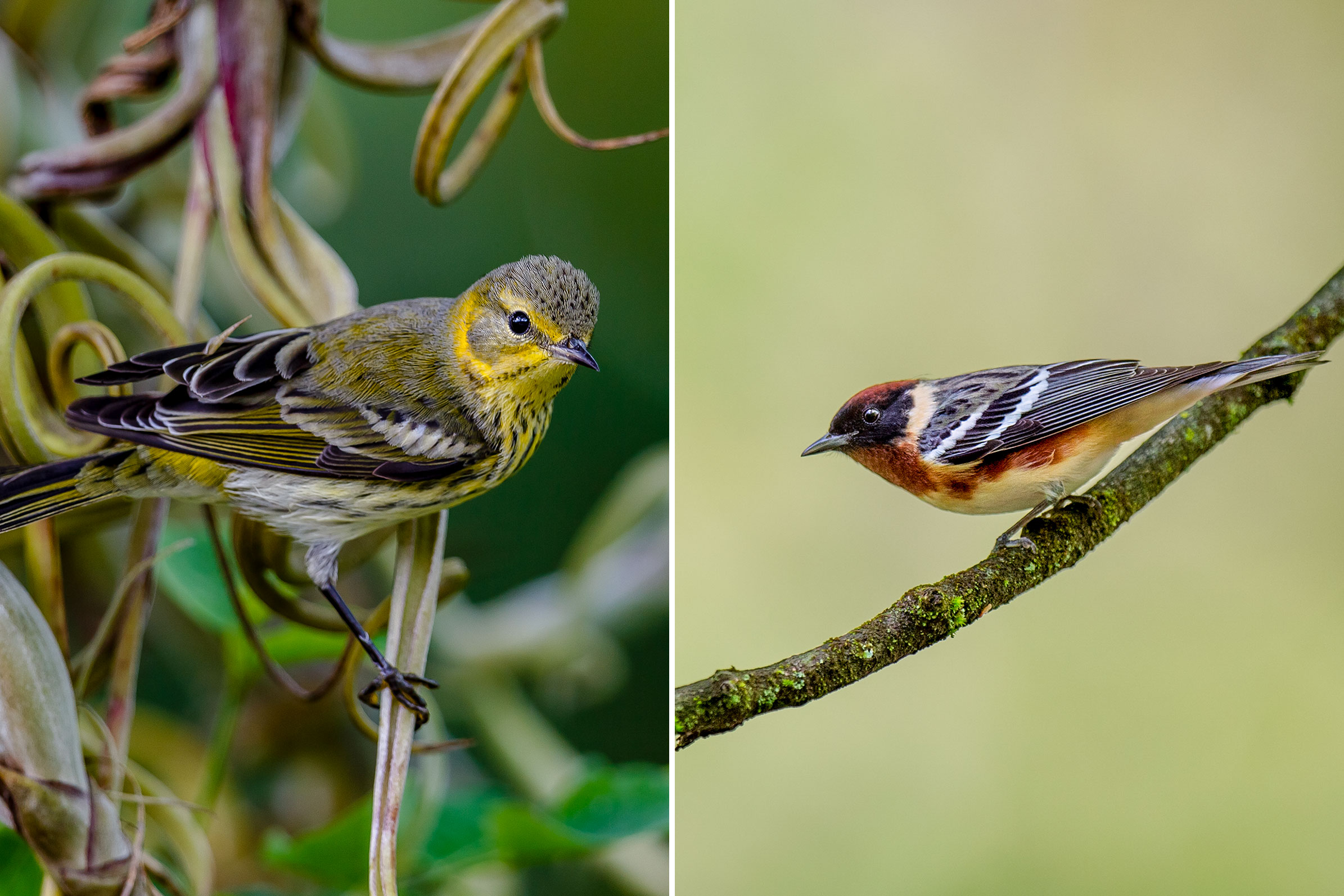 Photos from left: Cape May Warbler, Lorraine Minns/Audubon Photography Awards; Bay-breasted Warbler, Ray Hennessy/iStock