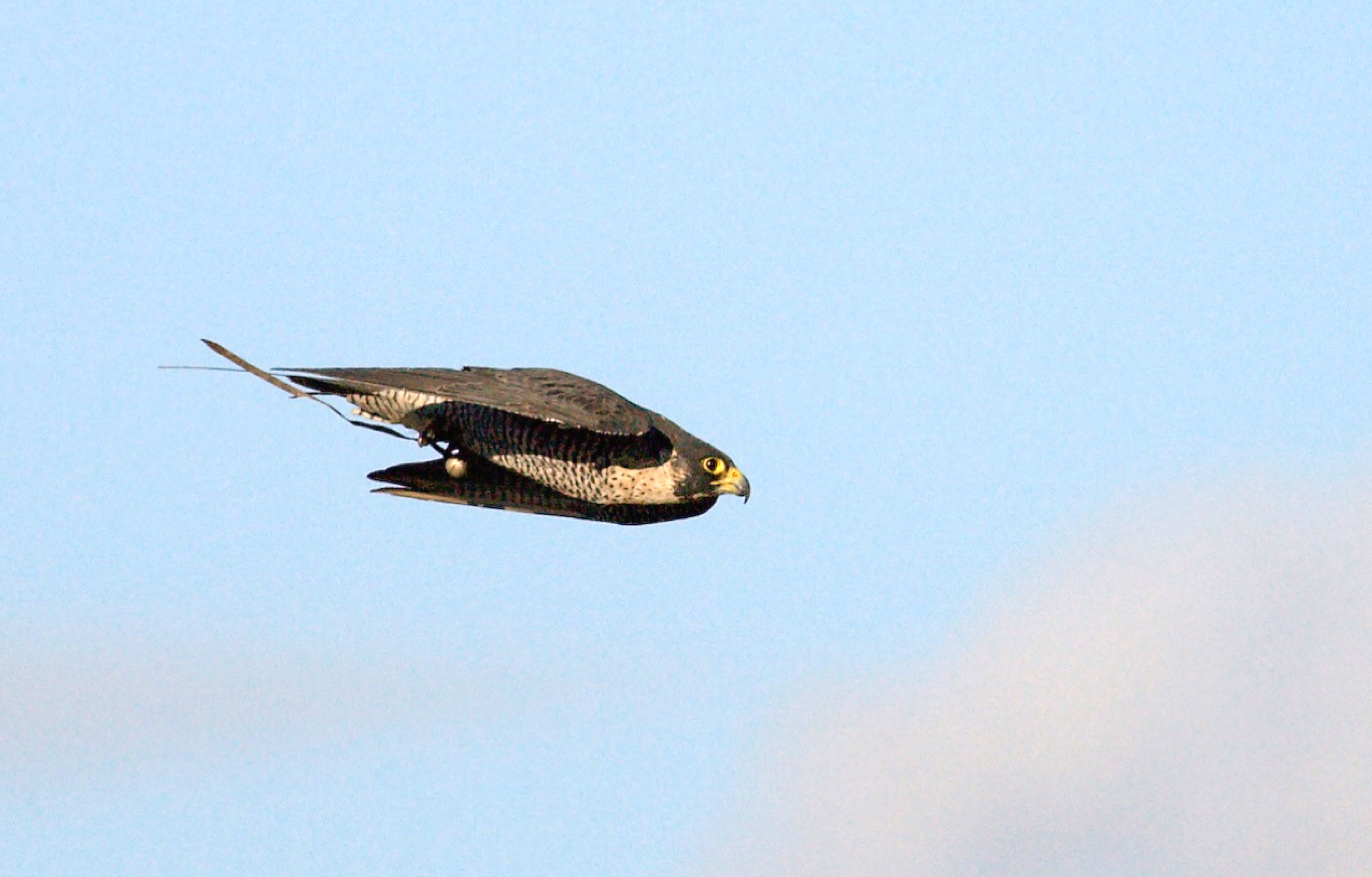 A stooping or diving Peregrine from the University of Oxford study. Caroline Brighton