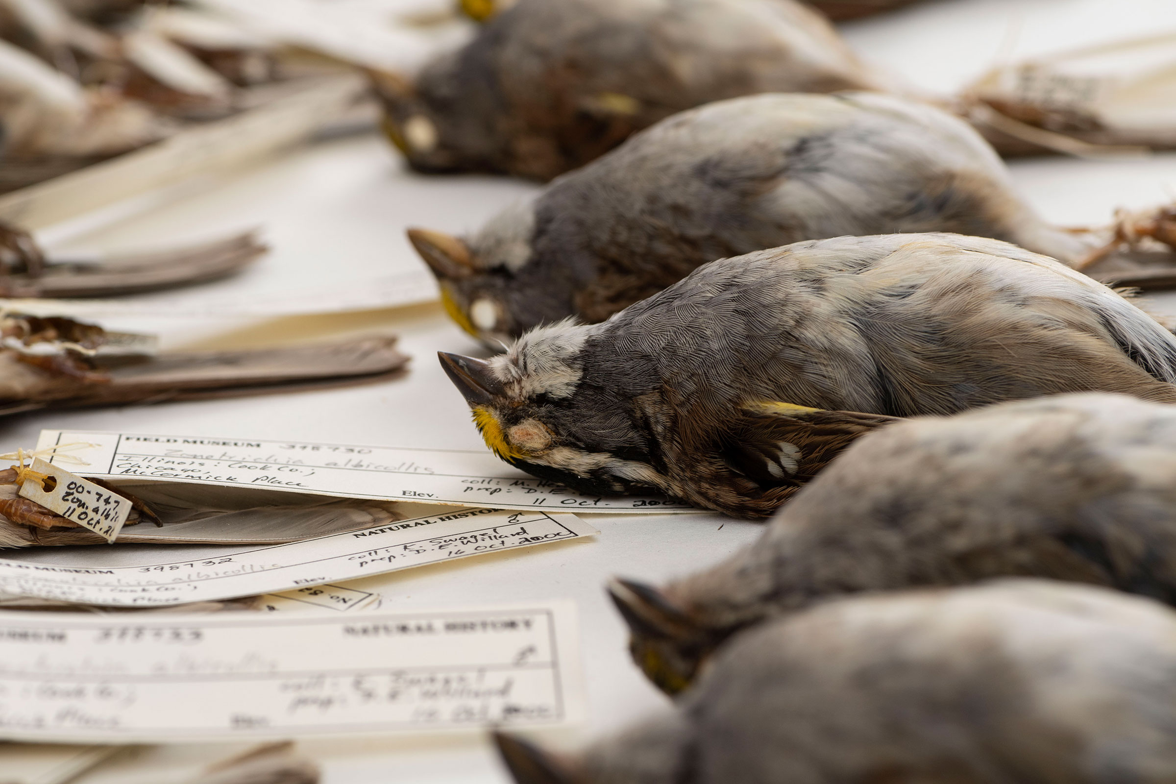 White-throated Sparrows that died after colliding with buildings in Chicago and were collected by researchers at the Field Museum. Roger Hart/University of Michigan
