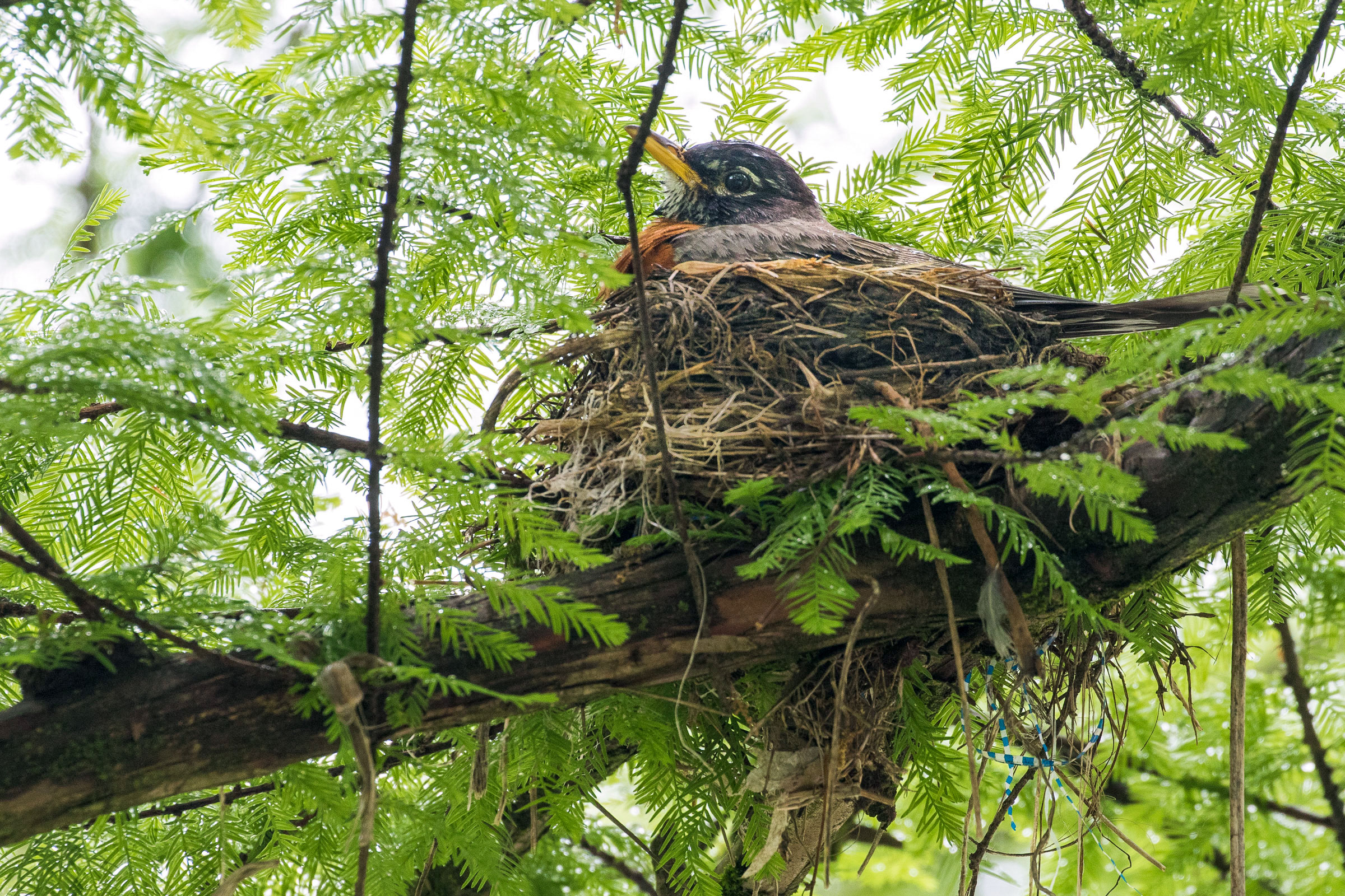 American Robin. Noppadol Paothong