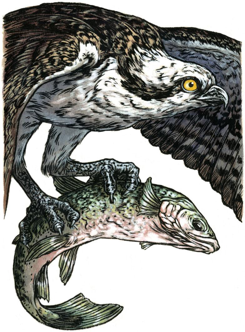 Osprey. Illustration: Emily Poole