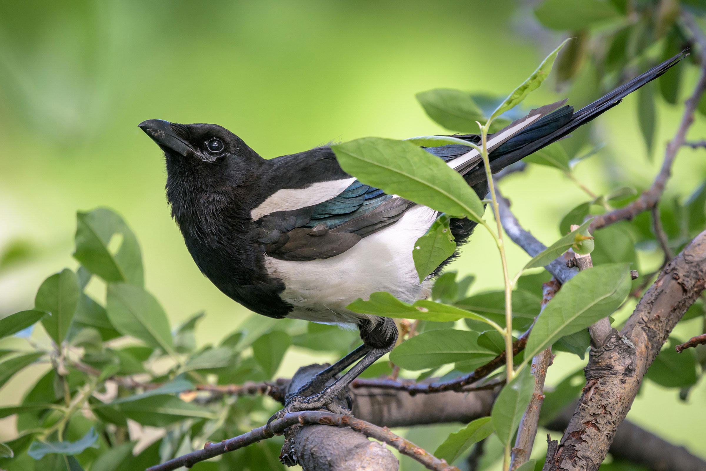 Black-billed Magpie. Becky Matsubara/Flickr (CC-BY-2.0)