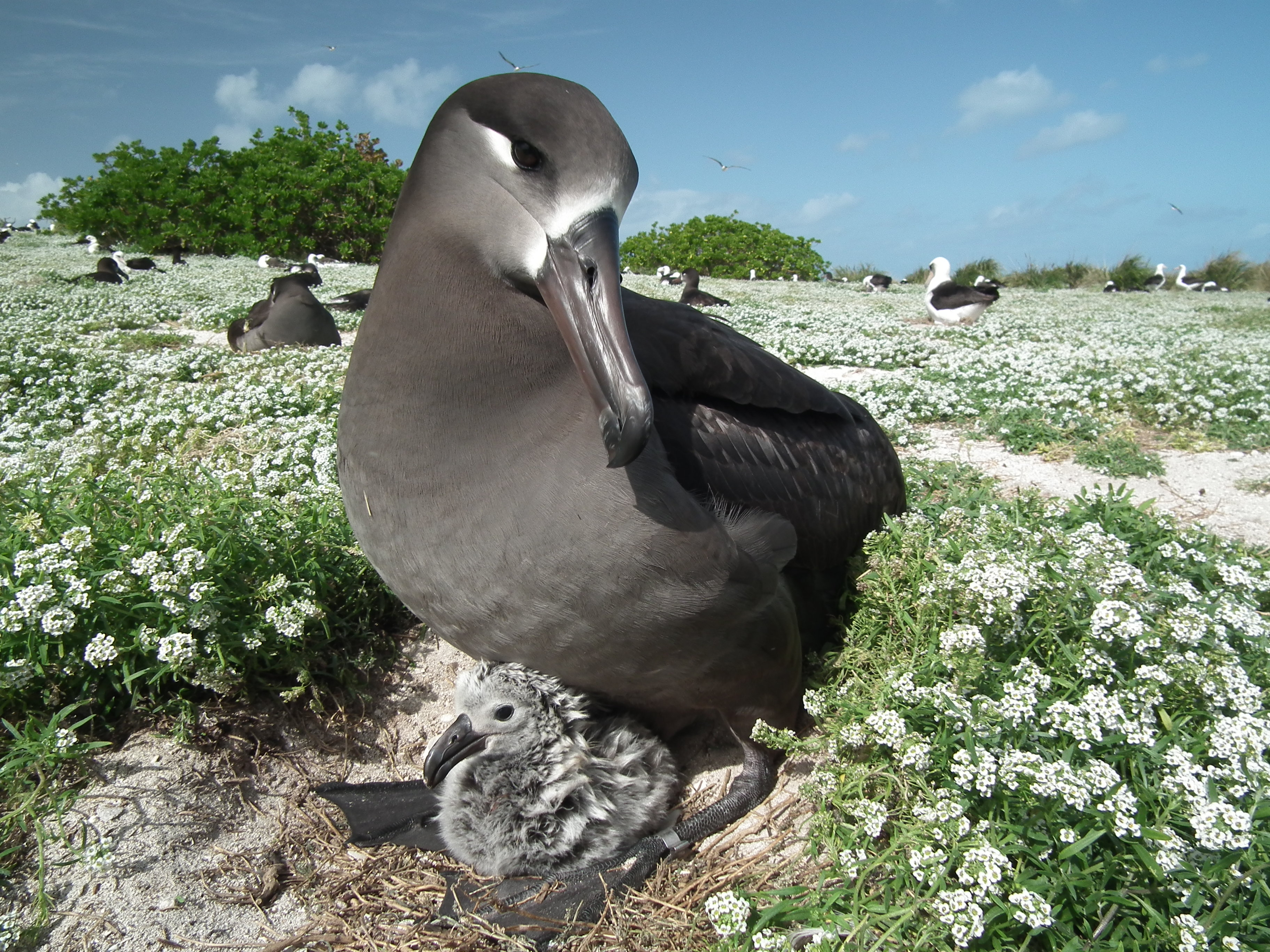 A Black-footed Albatross sits with a chick in the Midway Atoll. Laysan and other Black-footed Albatross are in the background. Wieteke Holthuijzen
