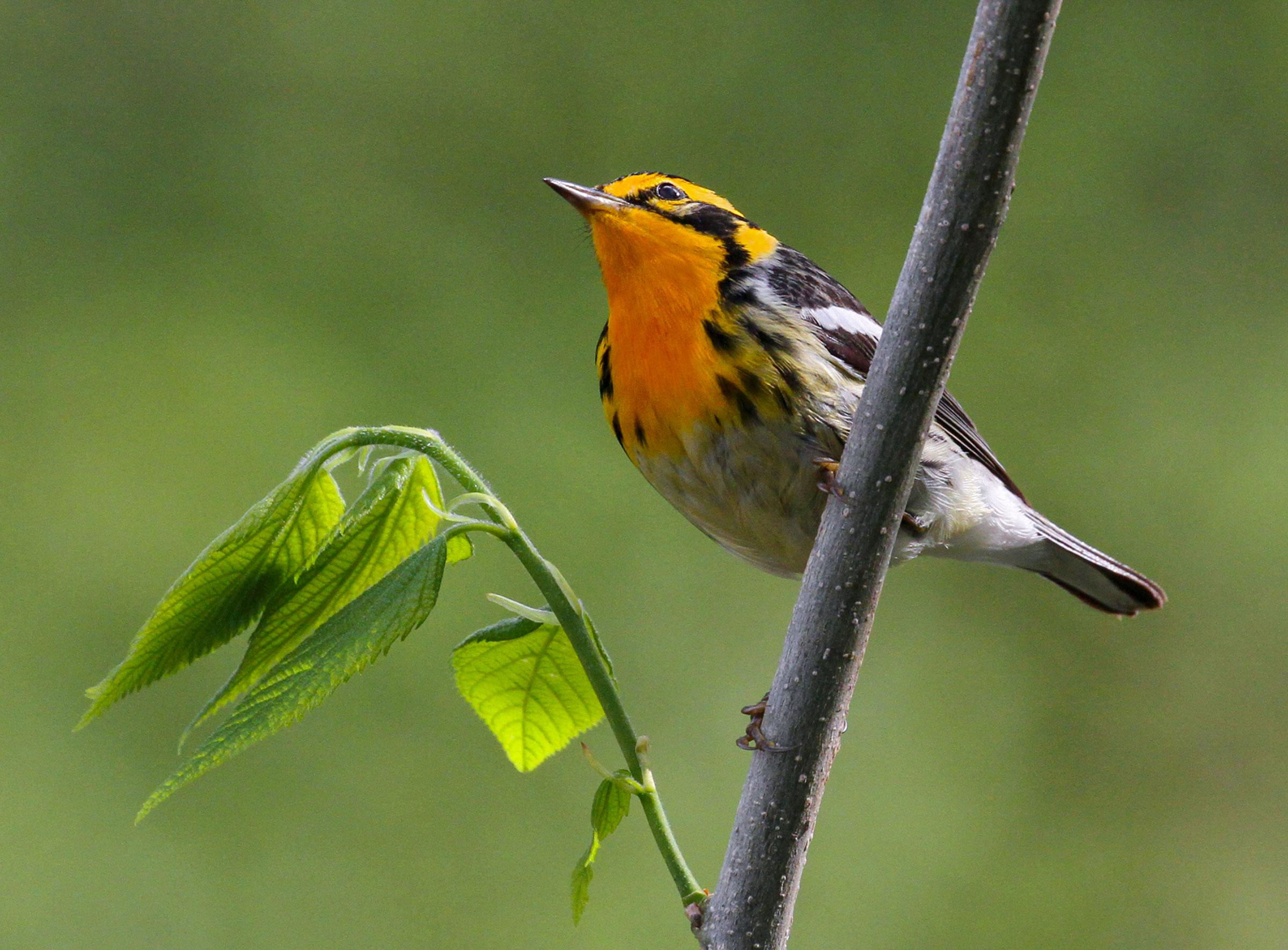 Blackburnian Warbler. Kenn Kaufman