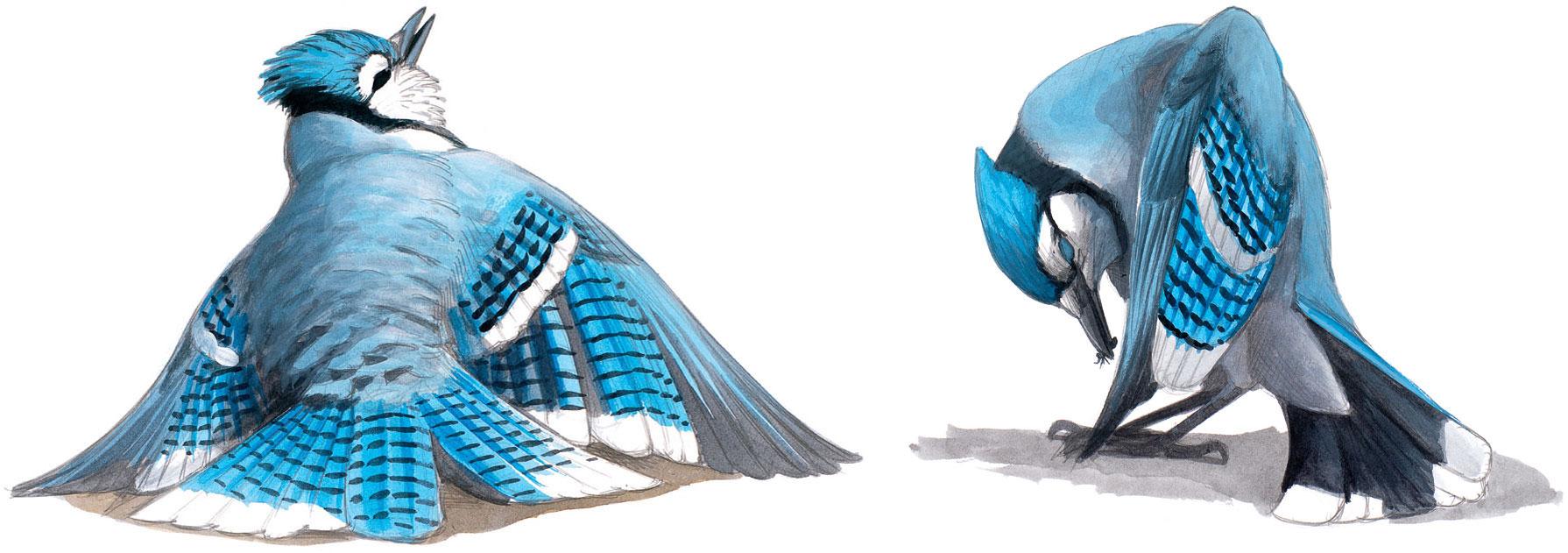 A Blue Jay sunning (left) and anting (right). Illustration: David Allen Sibley