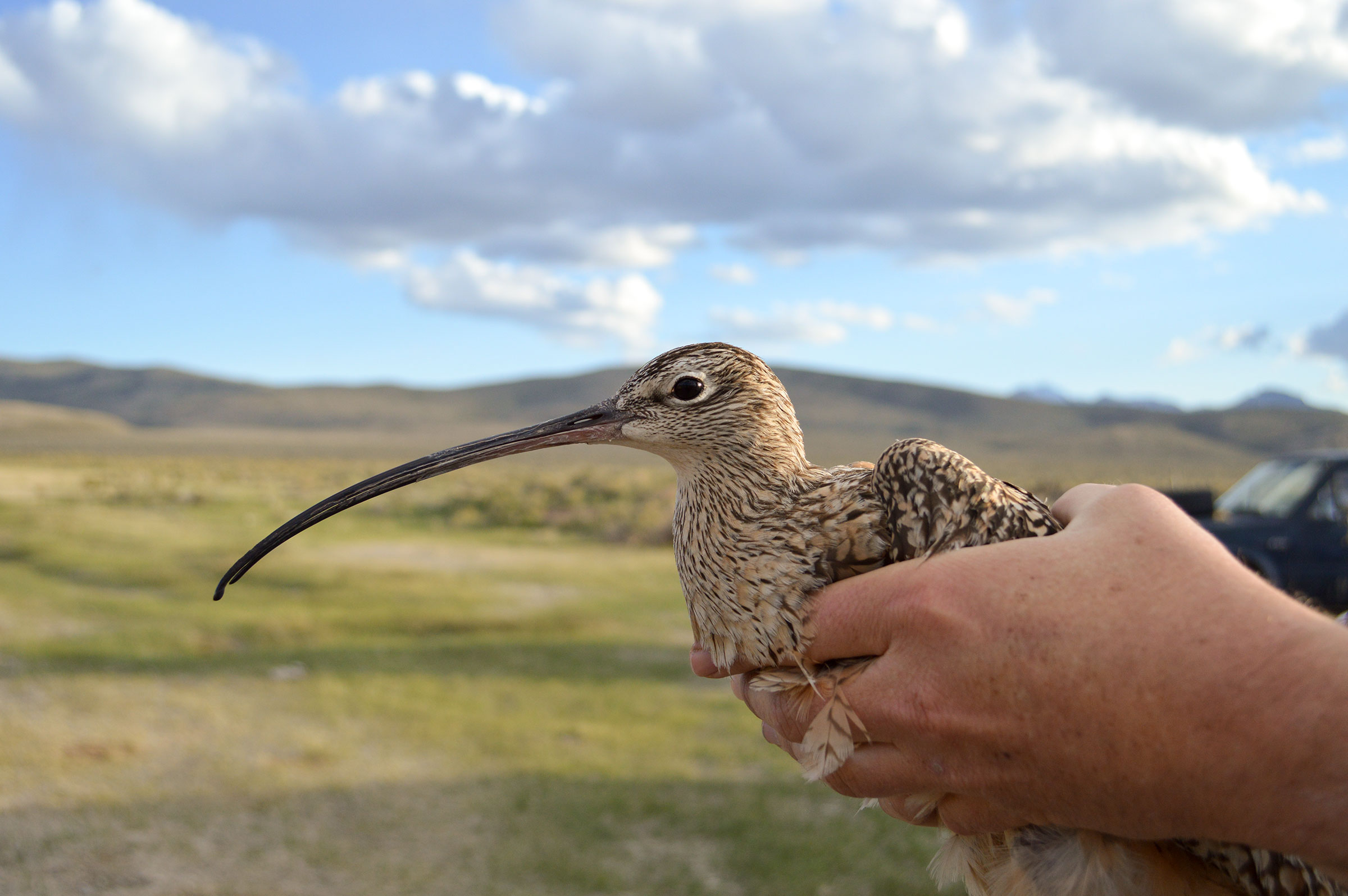 Borah, one of the Long-billed Curlews studied with a transmitter, just before release. Heidi Ware