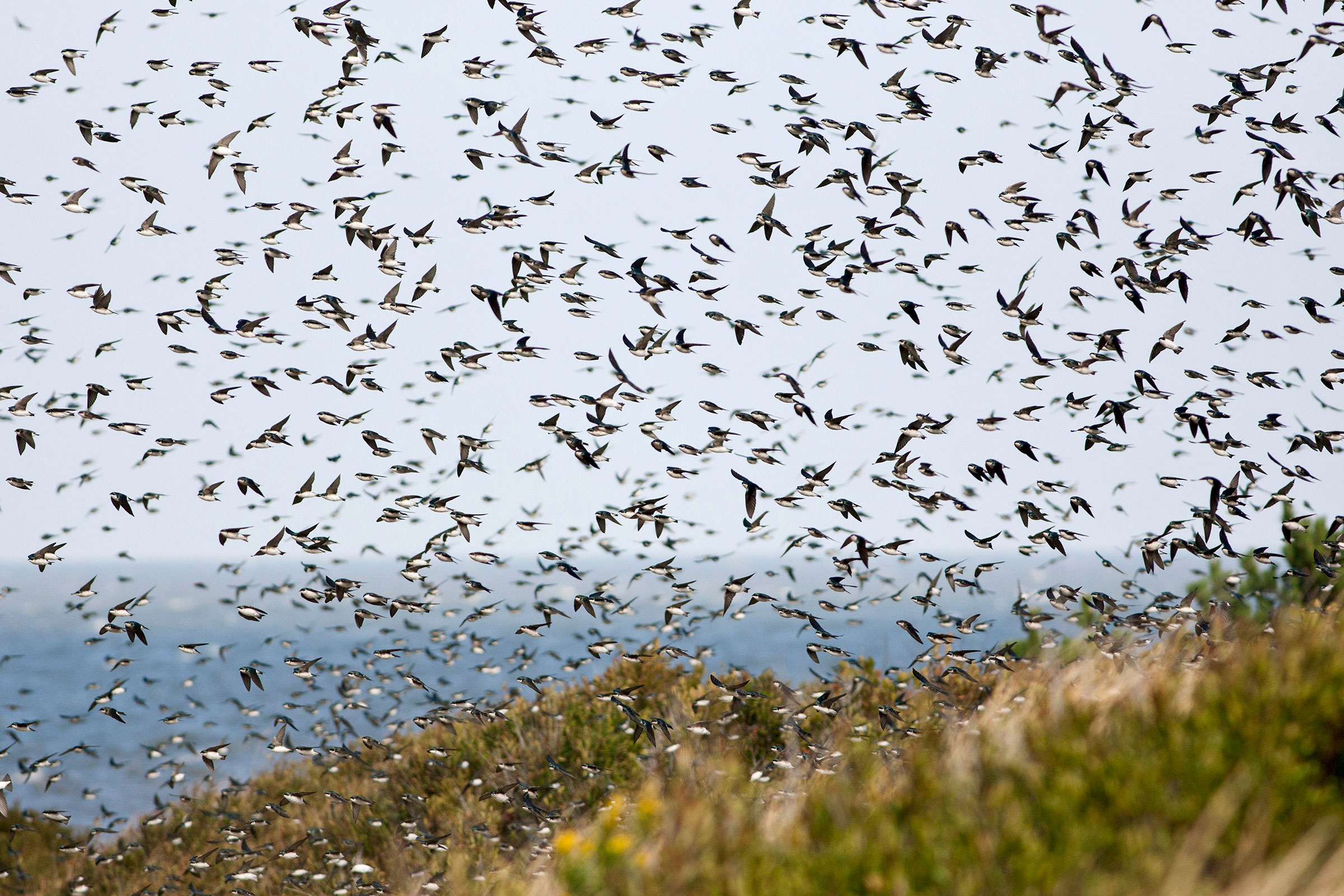 Migrating Tree Swallows at Cape May, NJ. William Leaman/Alamy