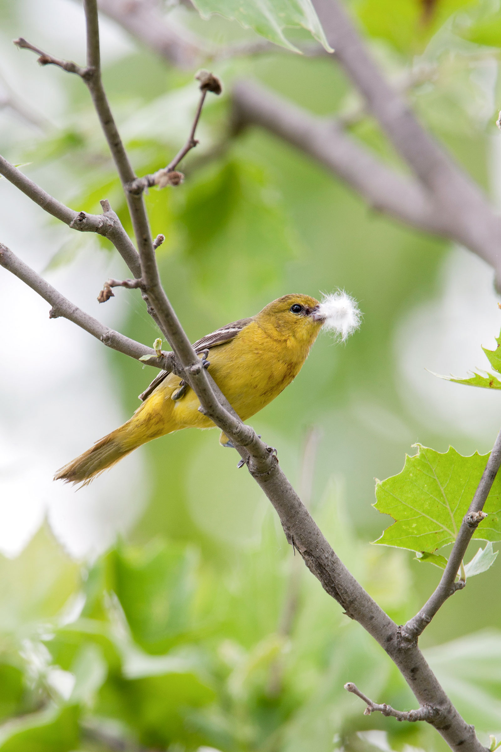 Female Orchard Oriole collecting nest material. William Leaman/Alamy
