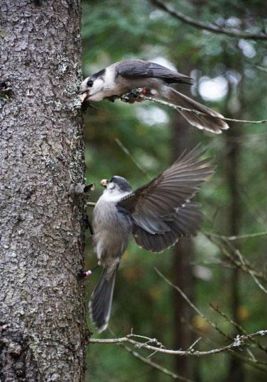 Canada Jays caching food. Alex Sutton