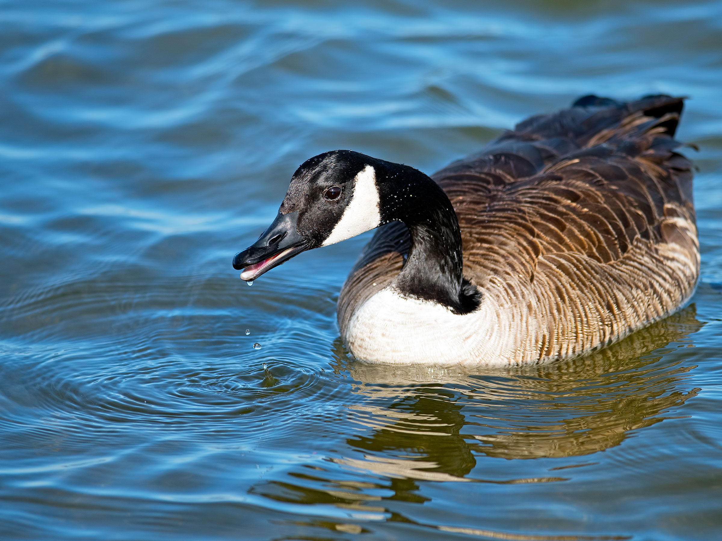 The Canada Goose's reputation for pooping all over the place hurt its chances. Brian Kushner
