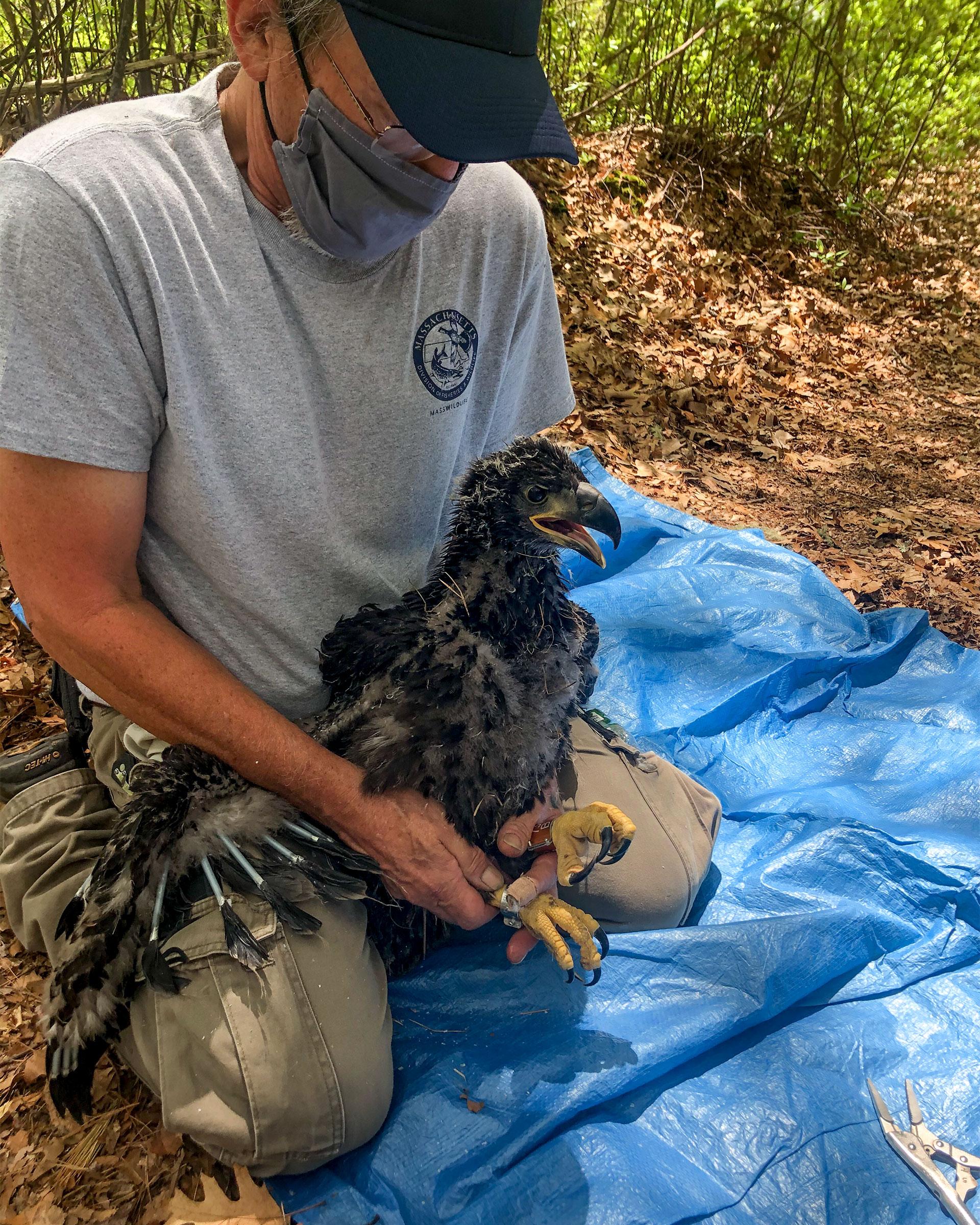 Jeff Breton of Mass Wildlife banding the eaglet. Mass Wildlife