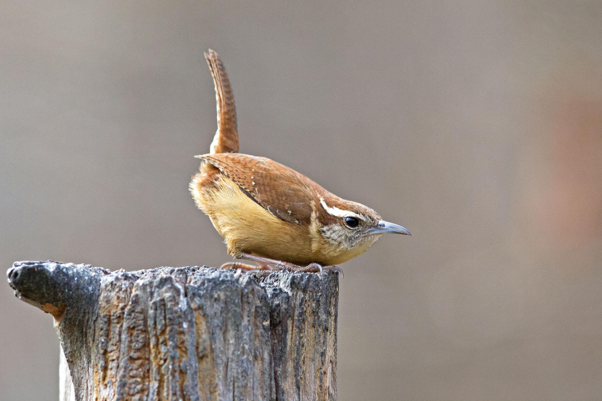 Carolina Wren. Gary Mueller/Great Backyard Bird Count