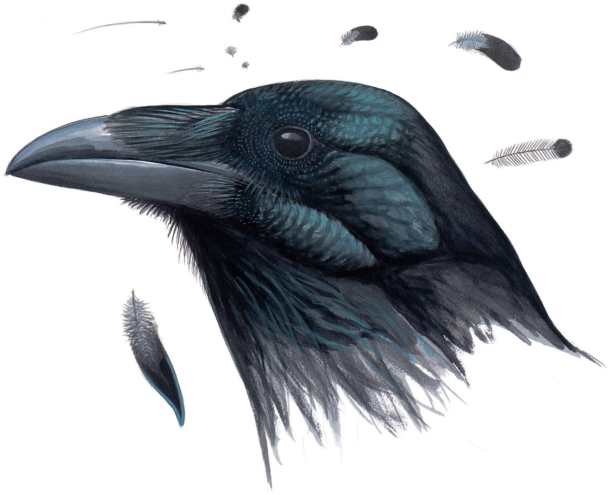 Some of the specialized feathers around the face of a Common Raven. Illustration: David Allen Sibley