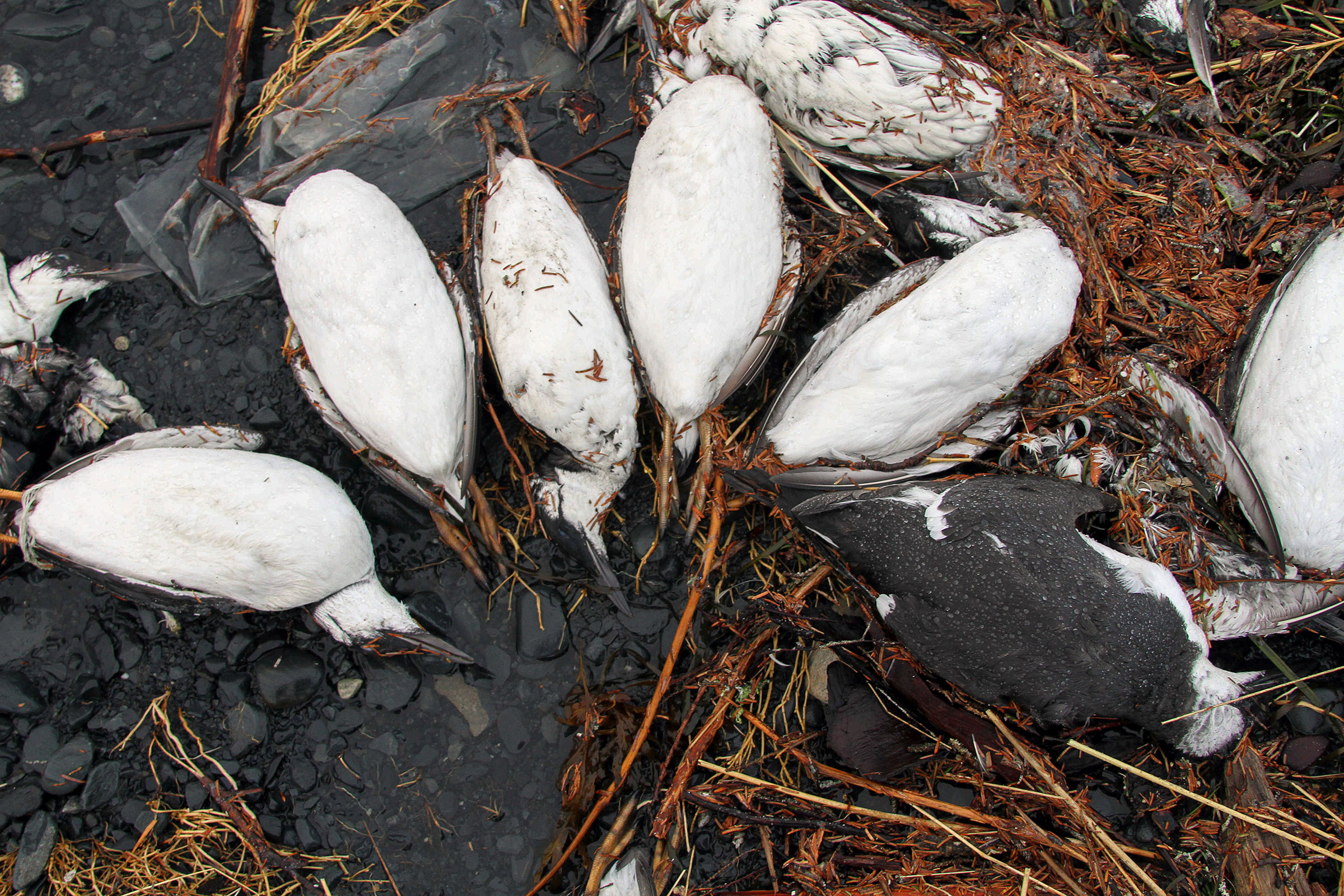 Common Murres washed up on the state's southerly beaches lining the Gulf of Alaska in 2016. This summer, six species showed up dead but were more concentrated in northern Alaska offshore of the Bering and Chukchi Seas. Mark Thiessen/AP