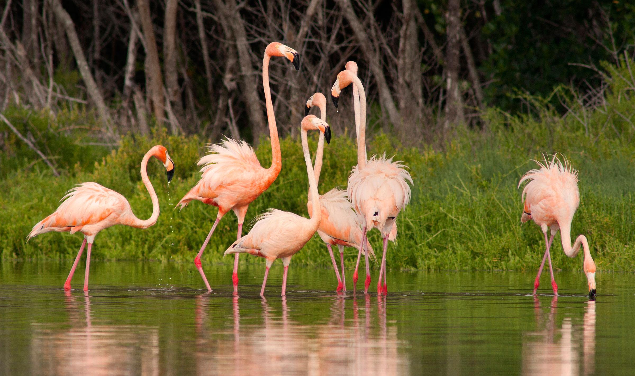American Flamingos. Connie Mier