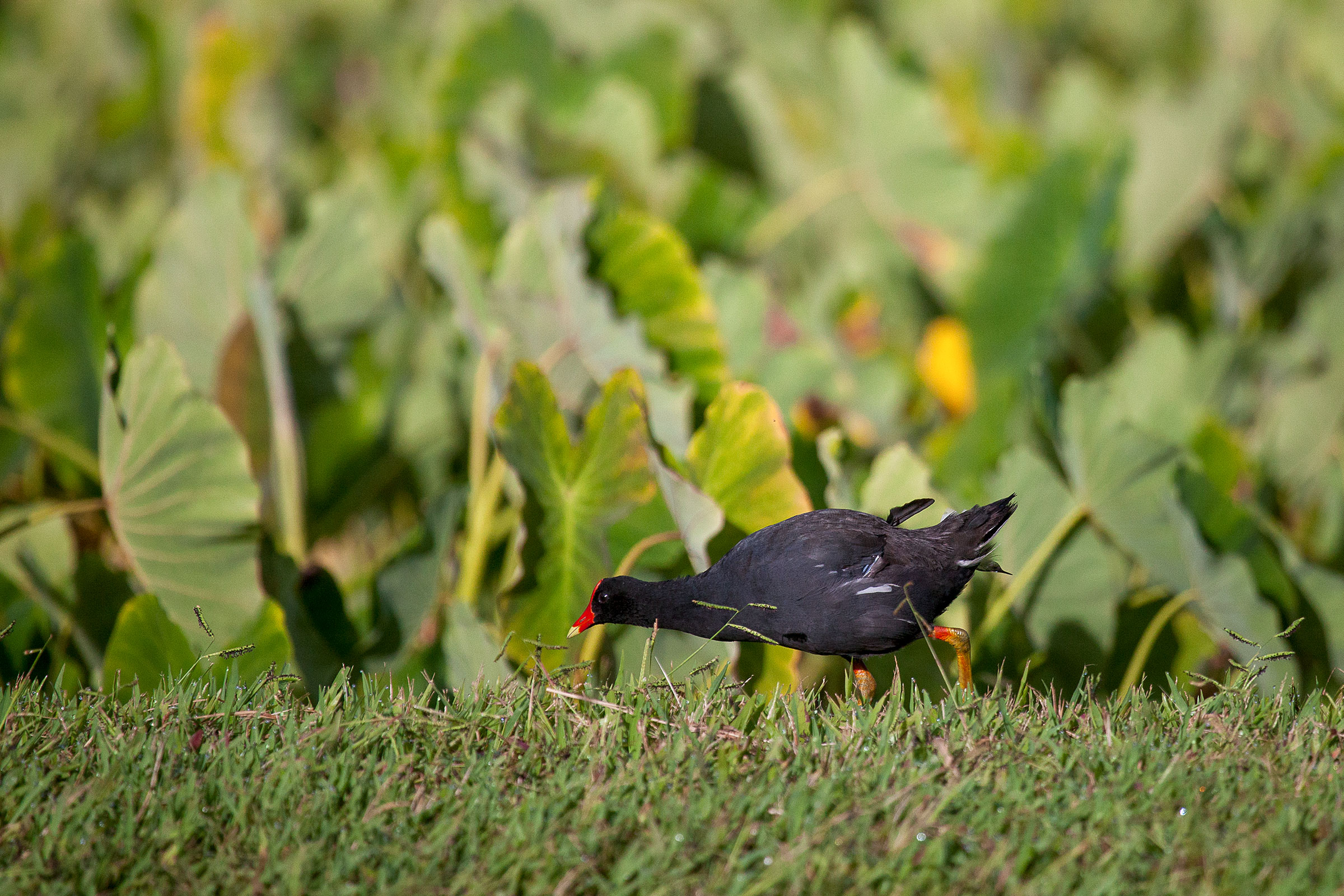 A Hawaiian Common Gallinule—a large black bird with a bright red bill—walks in a grassy field, with broad-leafed vegetation in the background.