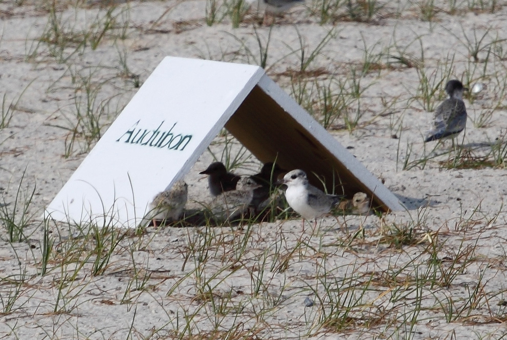 Several young Least Terns with fuzzy, downy feathers huddle under the shade of a chick shelter, a small wooden structure shaped like a tent to protect young birds from the hot sun on a Mississippi beach.