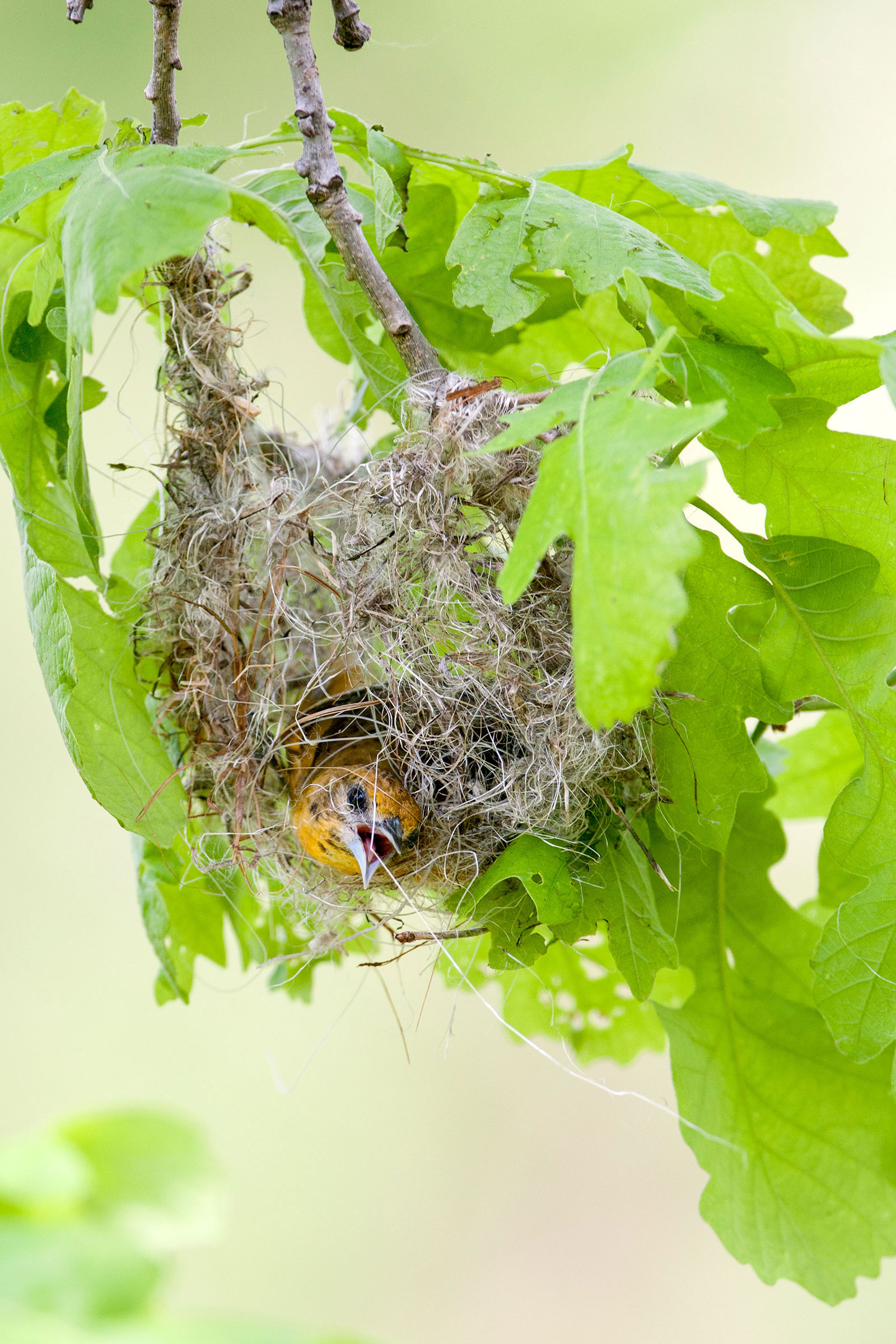 A female Baltimore Oriole hard at work weaving its nest. William Leaman/Alamy