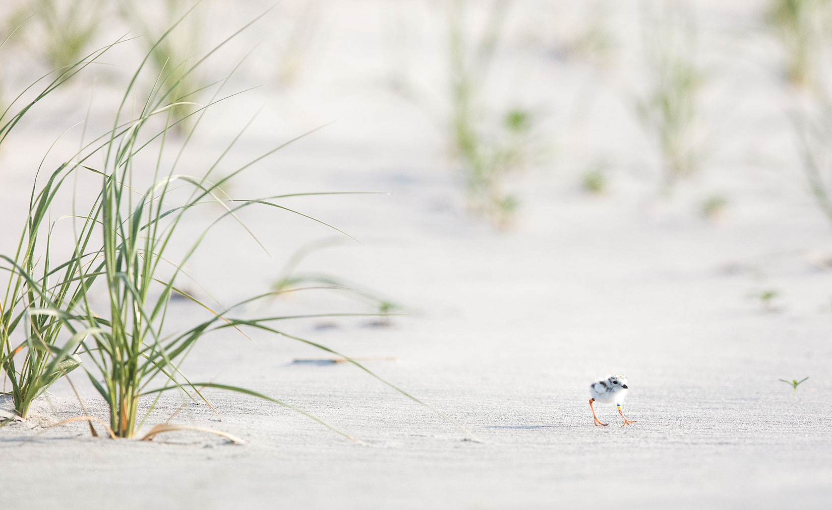 """Piping Plover chicks are often referred to as """"cotton balls with toothpicks for legs"""" for good reason! Jim Verhagen"""