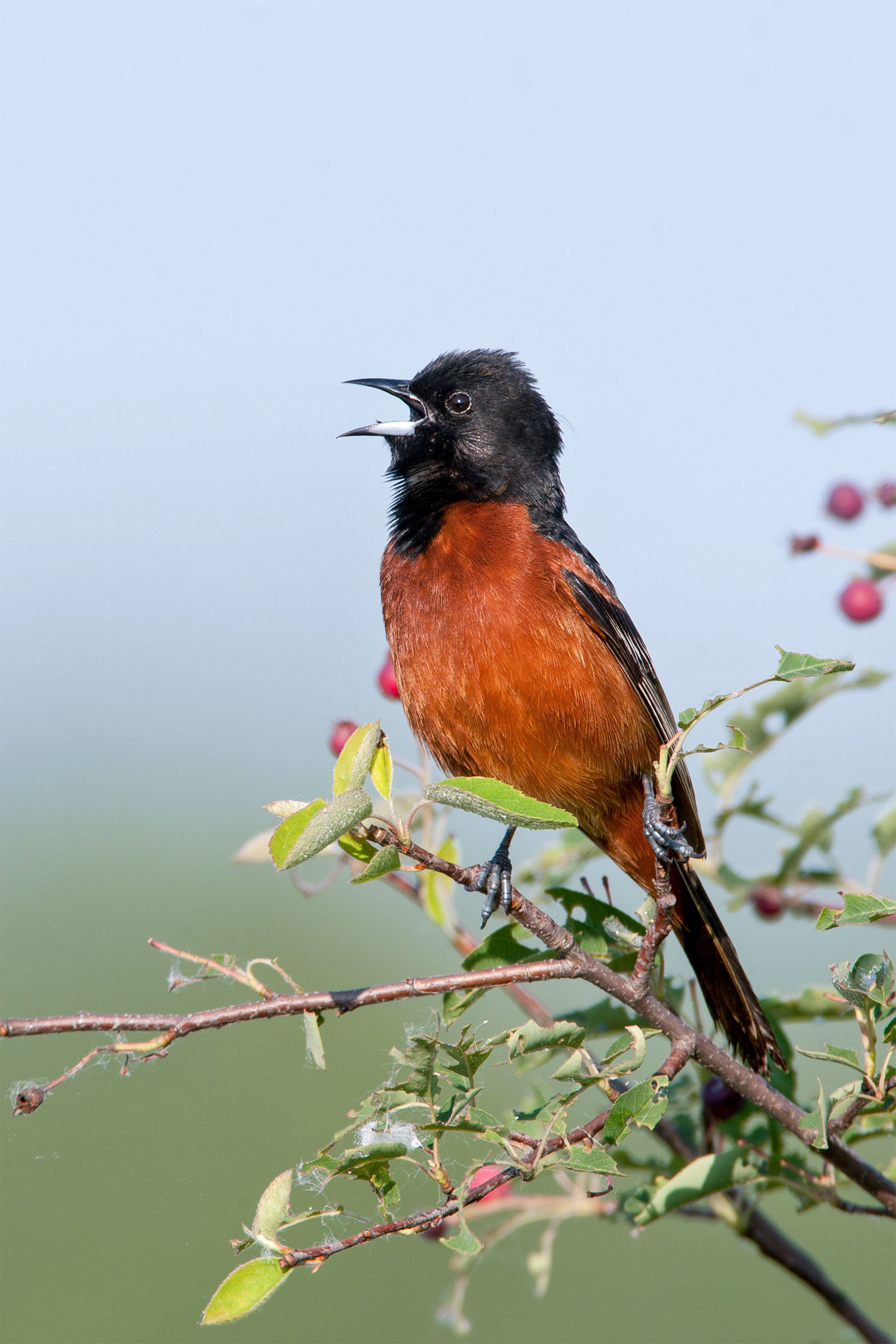 Orchard Orioles are moving into Wisconsin from the south. William Leaman/Alamy