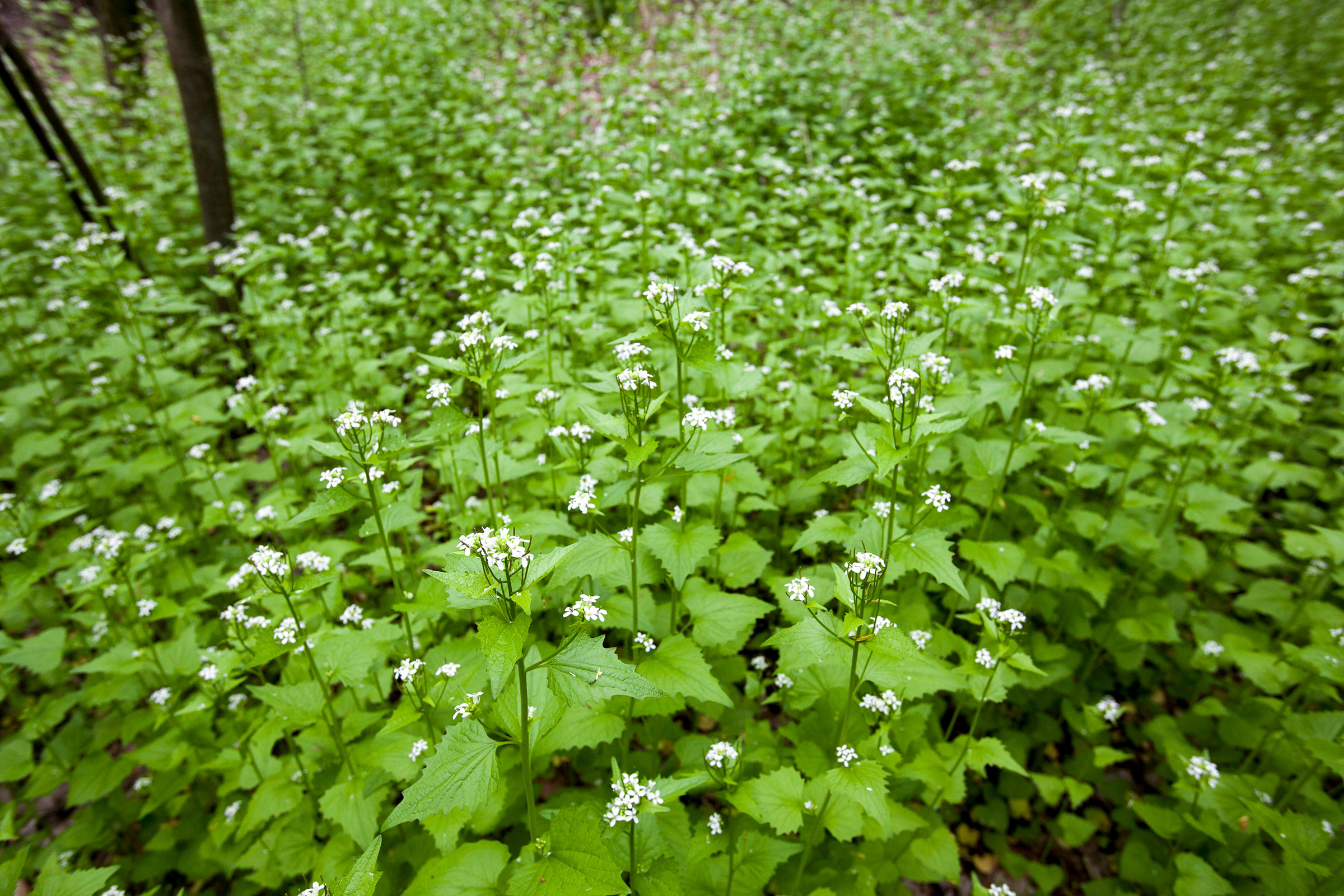 Garlic mustard, an invasive species native to Europe and Asia. In North America it can crowd out native plants in woodland habitats. Jim West/Alamy