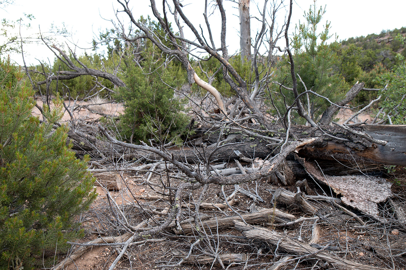 Juniper trees now dominate the landscape after 40 to 80 percent of piñon trees in these ecosystems perished. Los Alamos National Laboratory
