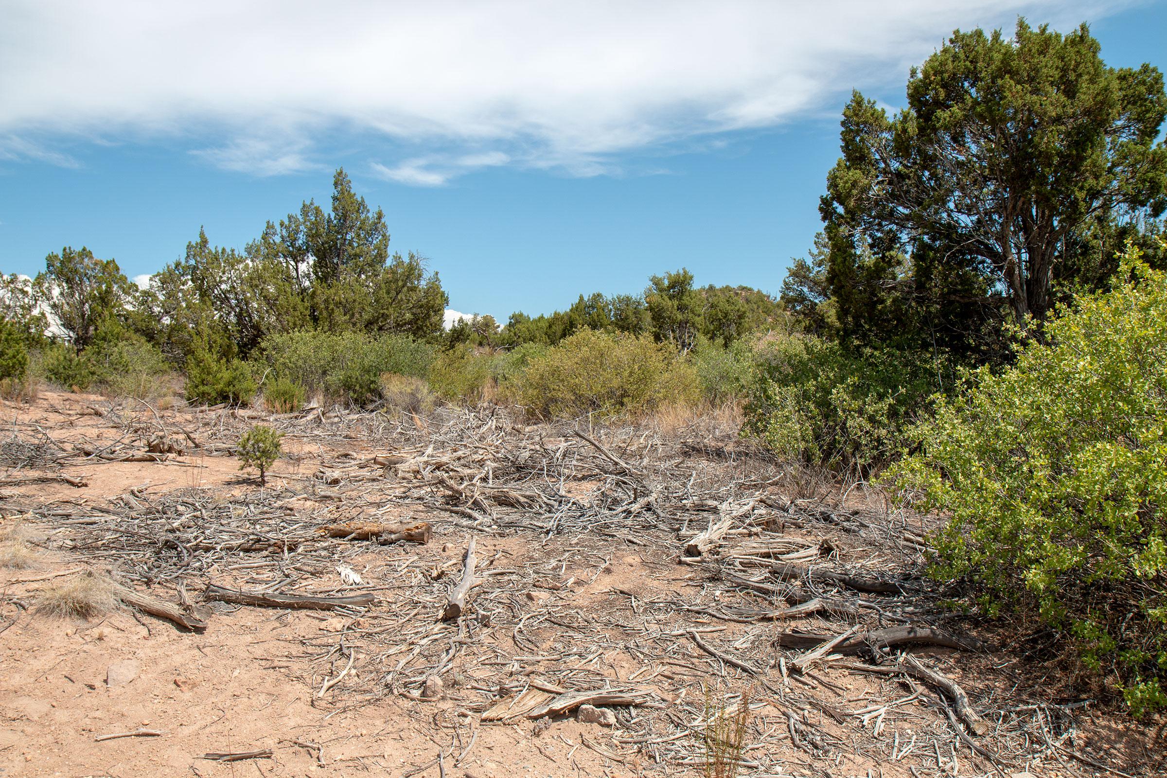 Detritus from dead piñon trees litter the ground near Los Alamos National Laboratory. Los Alamos National Laboratory