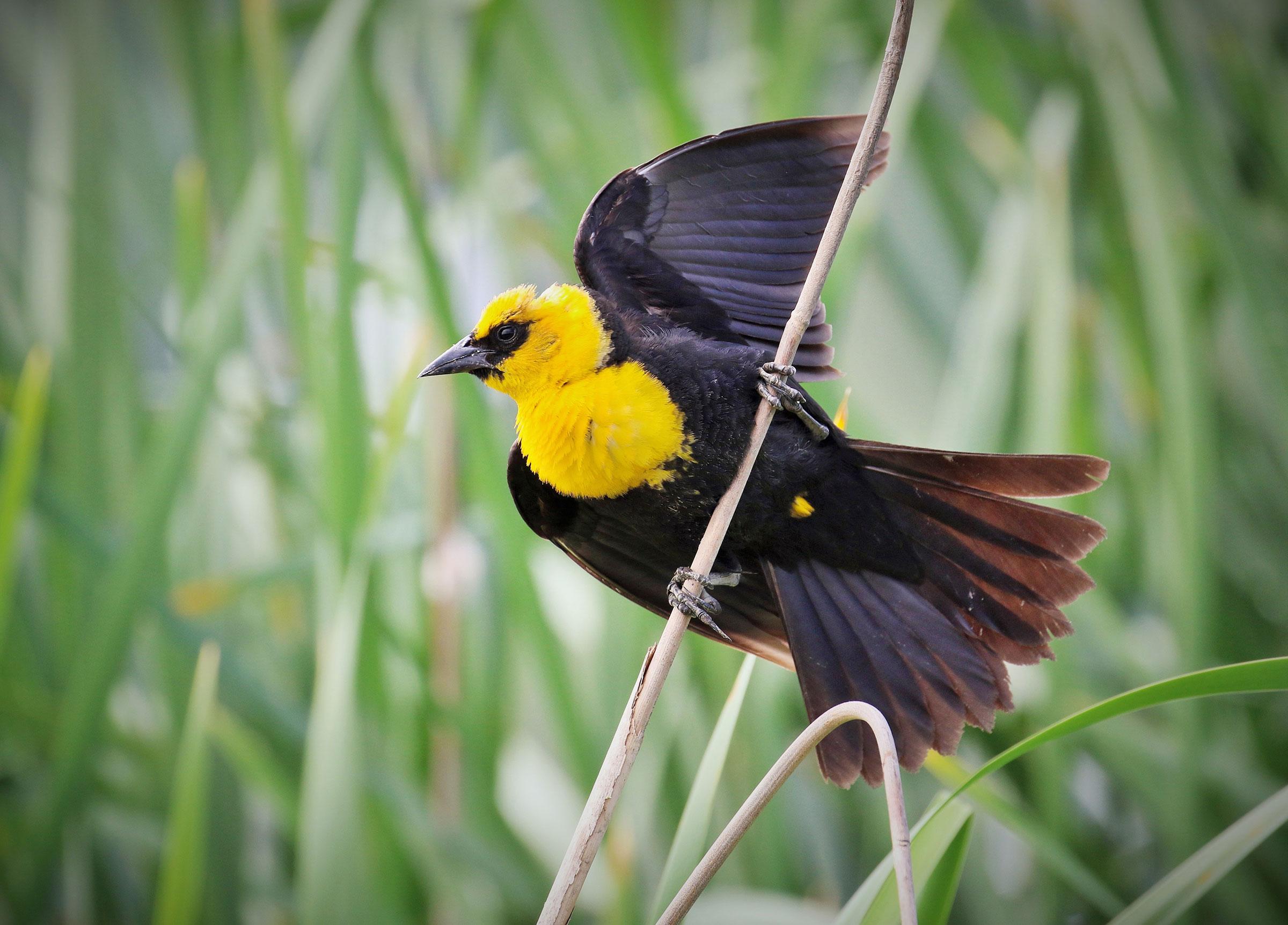 Hear the raucous calls of territorial Yellow-headed Blackbirds at Minnesota's Festival of Birds. Charles Wheeler/Audubon Photography Awards