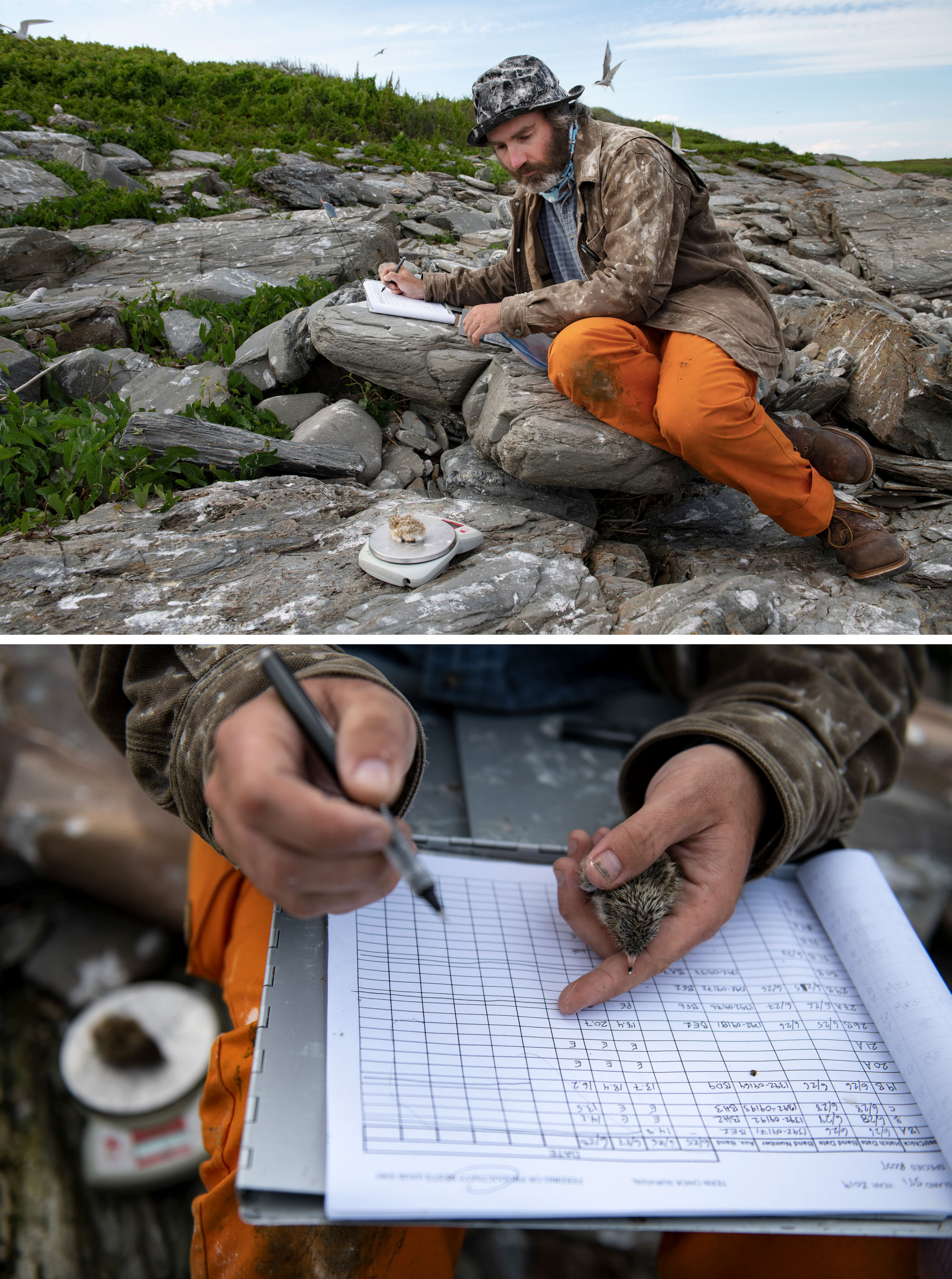 Zeke Smith weighs a roseate chick and records the data on Stratton, an Audubon-owned island and home to the largest colony of breeding roseates in the Gulf of Maine, with 125 pairs. Photos: Chris Linder