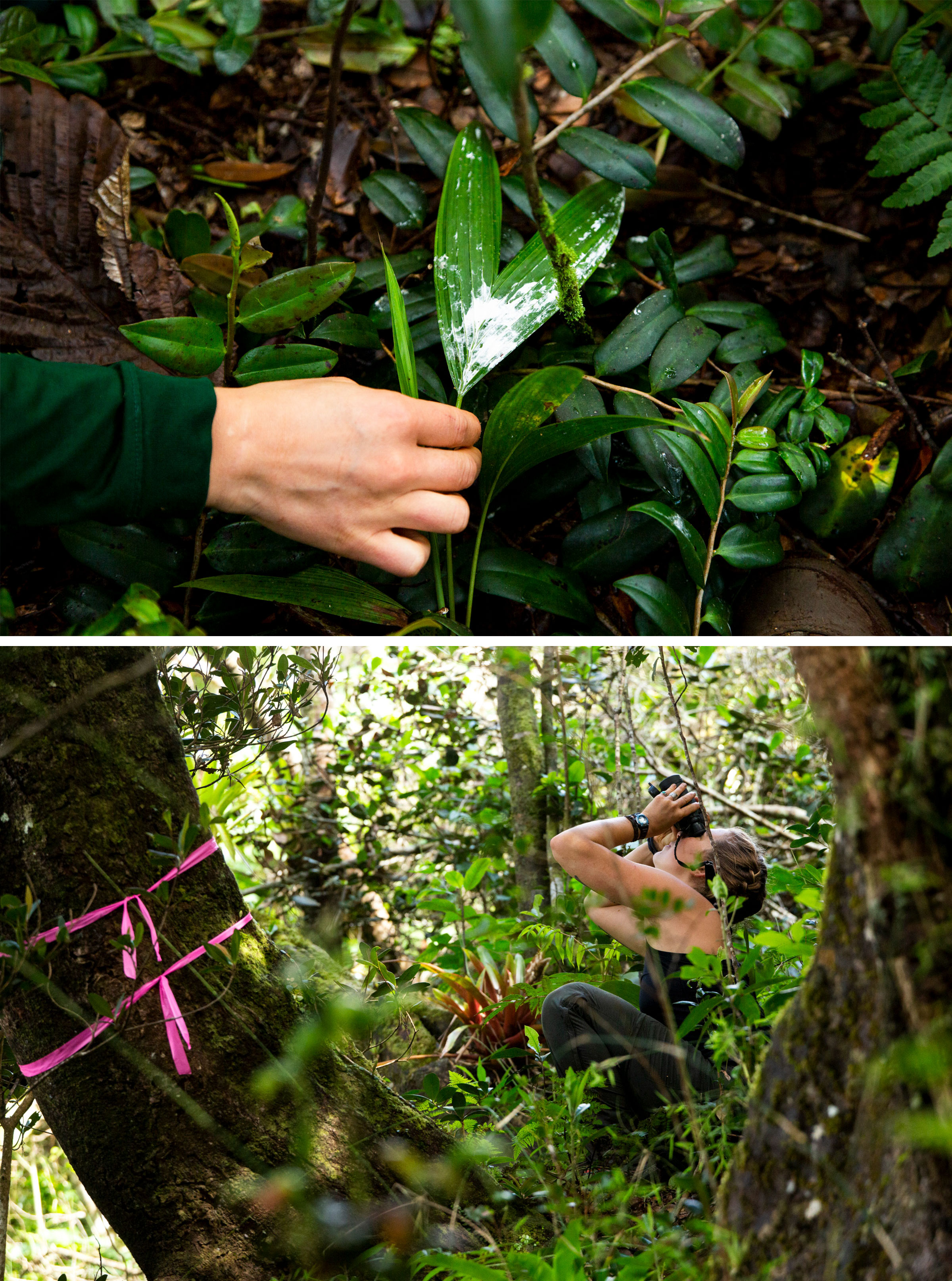 Whitewash from a hawk near a nesting site at Toro Negro Forest (top). Michaela Gustafson observes the nest (bottom). Photos: Erika P. Rodriguez