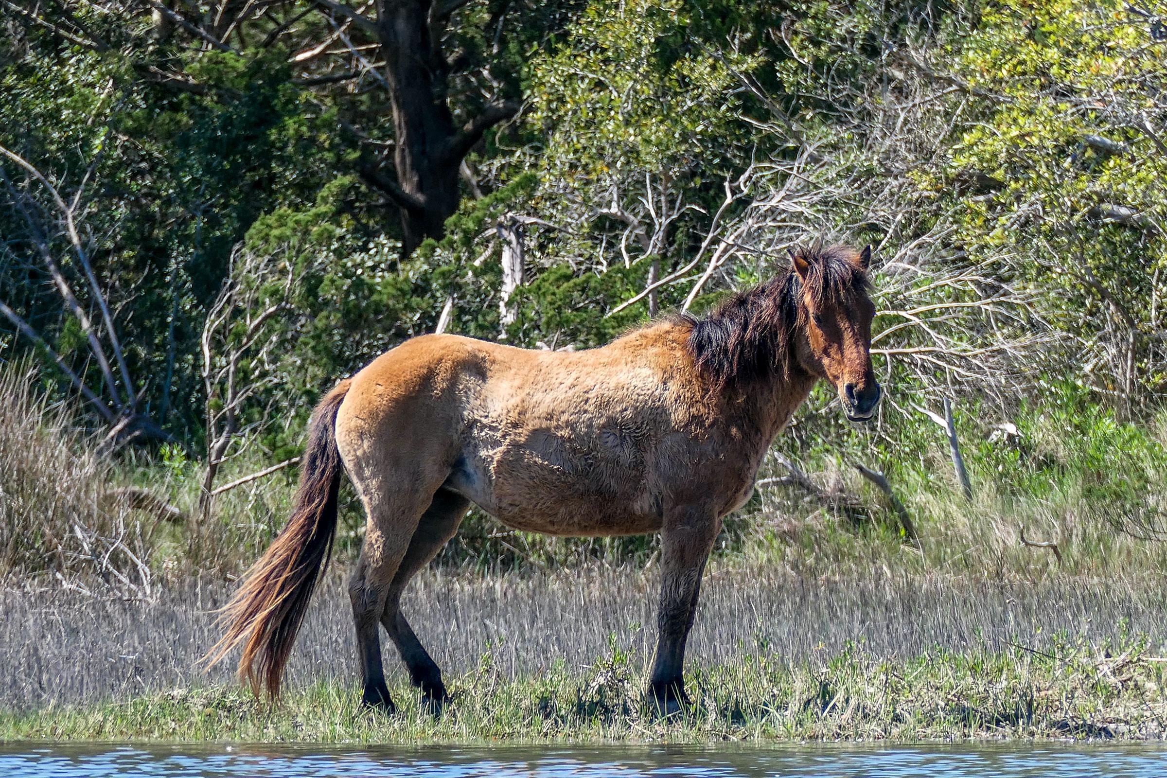 Descended from Spanish stock loosed in shipwrecks long ago, wild horses still inhabit Carrot Island. Megan Mayhew Bergman