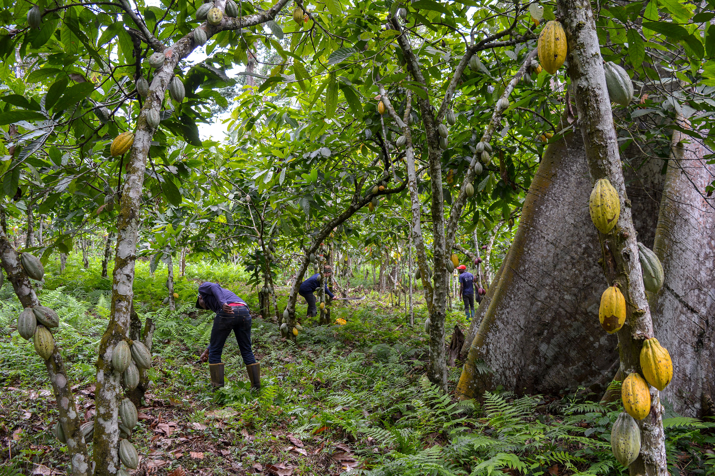 The understory is cleared on a Cameroon cocoa farm about twice a year so workers can access the cocoa trees during harvest and to keep pests under control. Crinan Jarrett