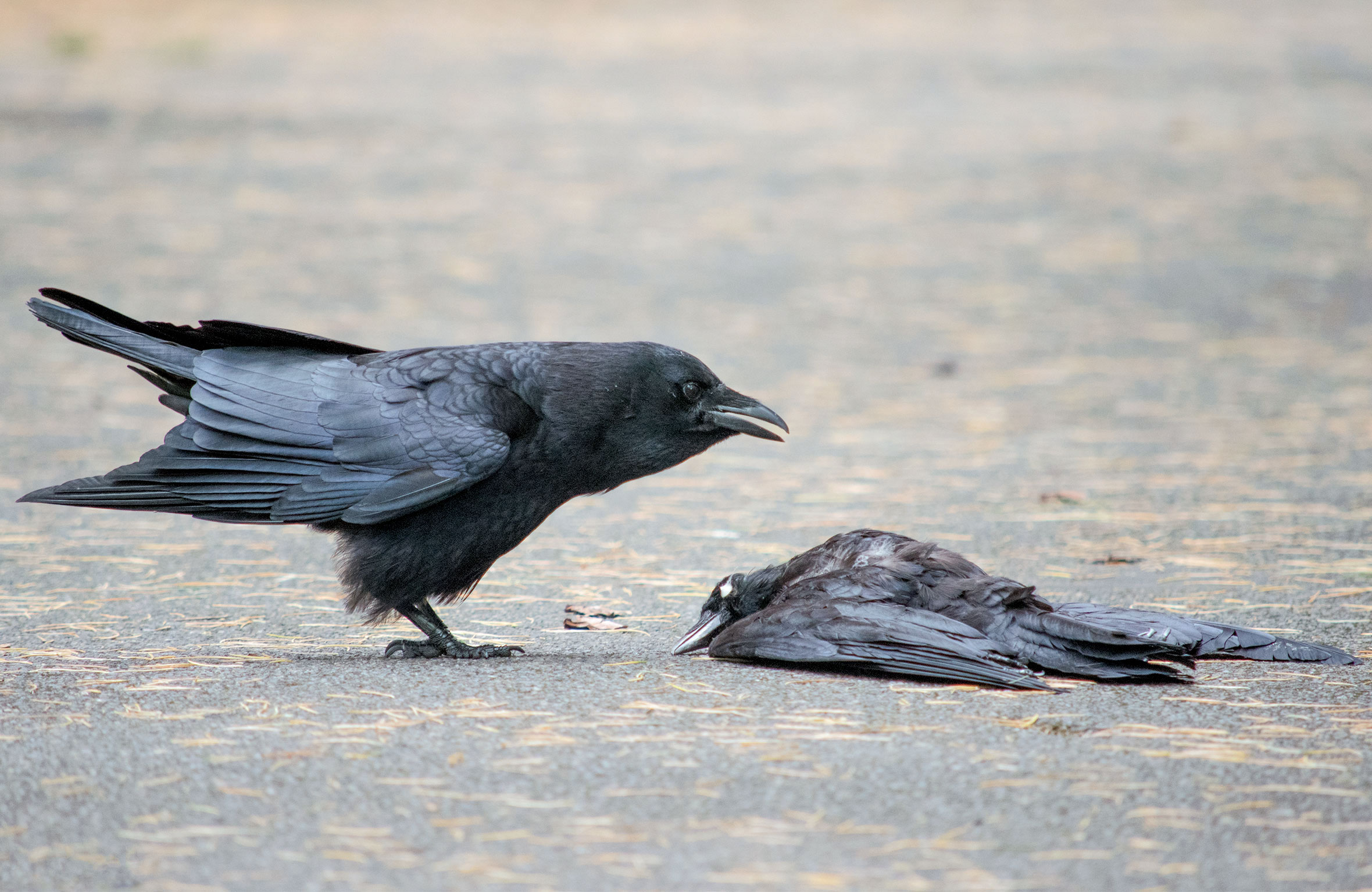 """An American Crow shows interest in a decidedly uninterested potential mate. <a href=""""https://corvidresearch.blog/"""">Kaeli Swift</a>"""