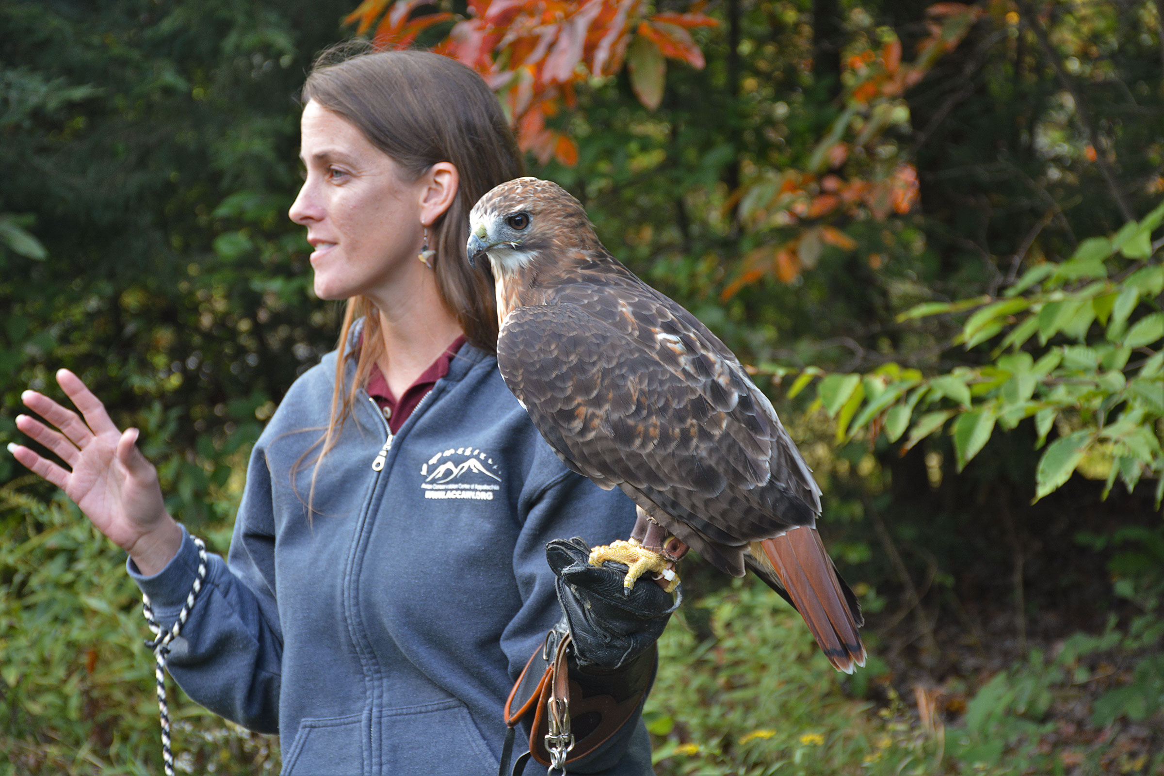 The writer with Canaan, a female Red-tailed Hawk from the Avian Conservation Center of Appalachia. Despite a permanent wing injury, Canaan is still as intimidating as she is affectionate. Ruth Bergen
