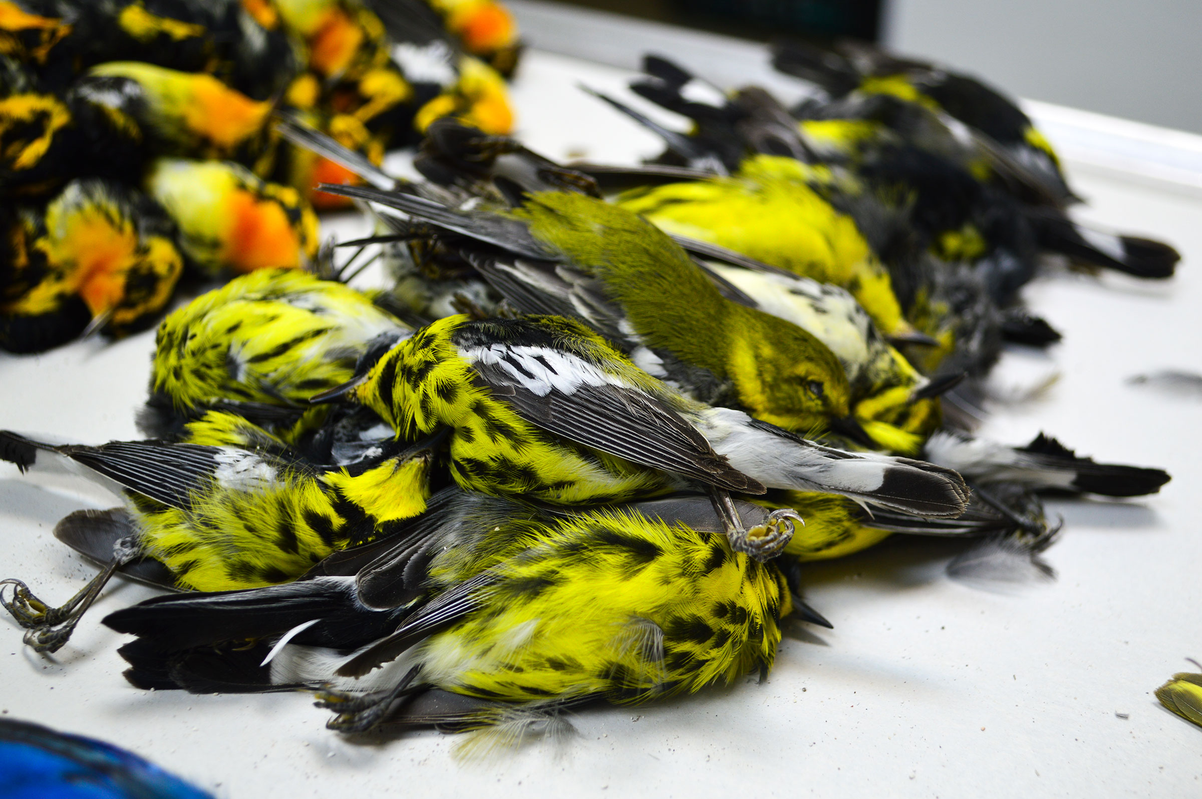Magnolia Warblers were among the dead birds salvaged from last week's massive migrant crash. Josh Henderson