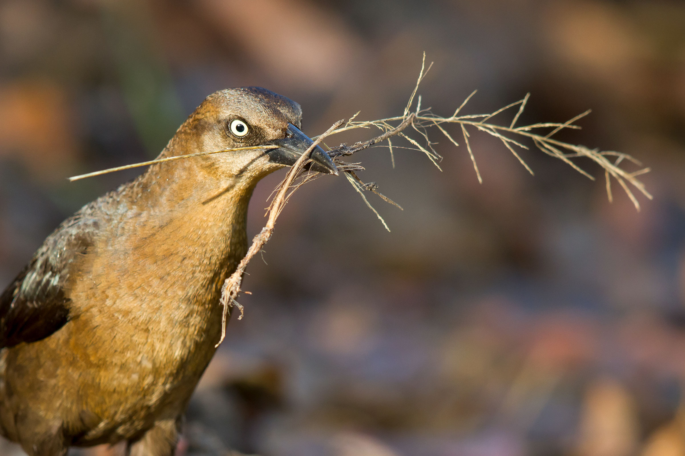 Great-tailed Grackle (female). Ray Wilson/Alamy