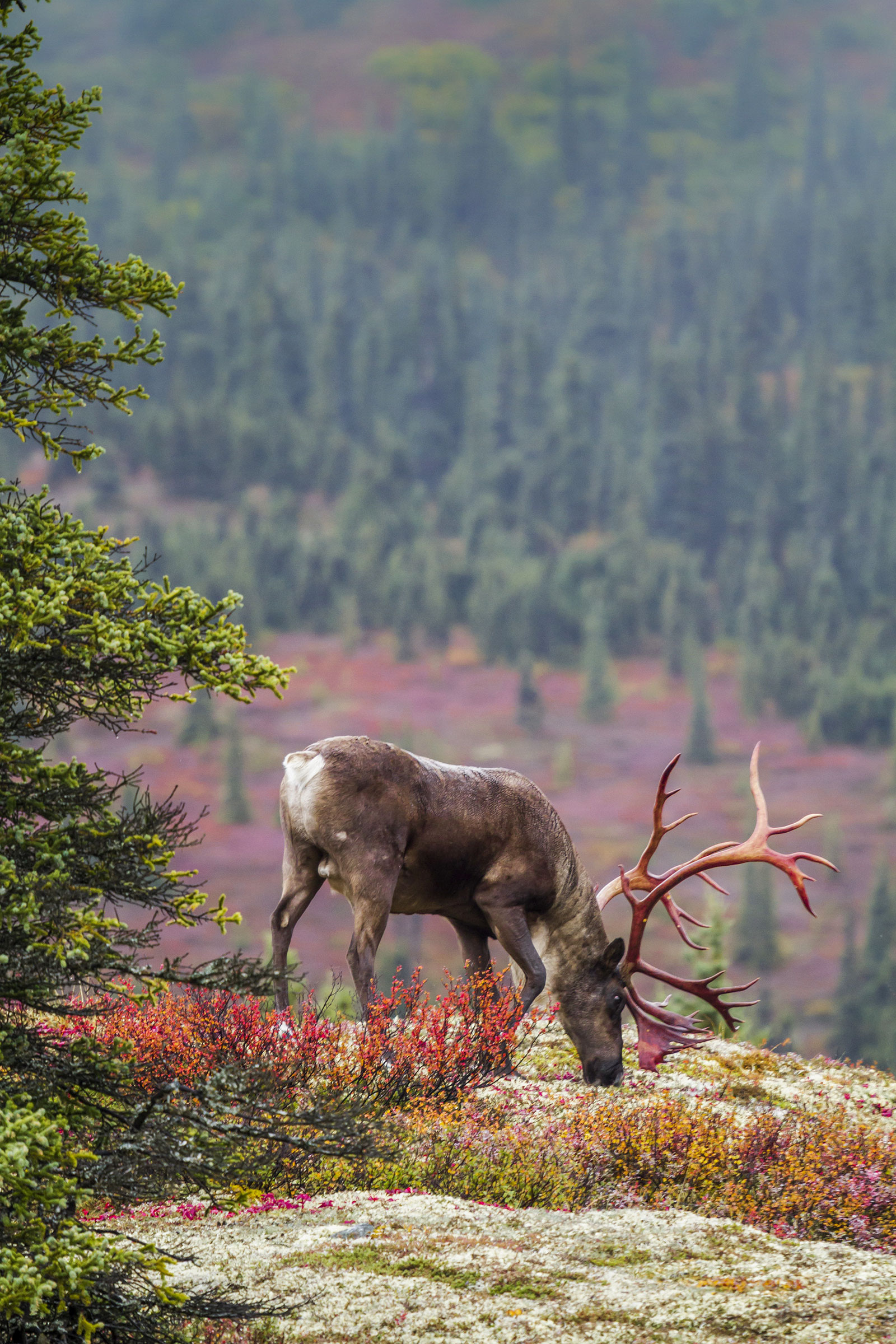 Caribou eating lichen in Alaska. Fires incinerate the lichen, forcing caribou off their traditional migratory routes to find other food sources. Design Pics Inc/Alamy
