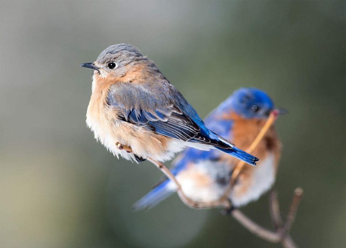 Eastern Bluebirds. K. Bartels/Great Backyard Bird Count
