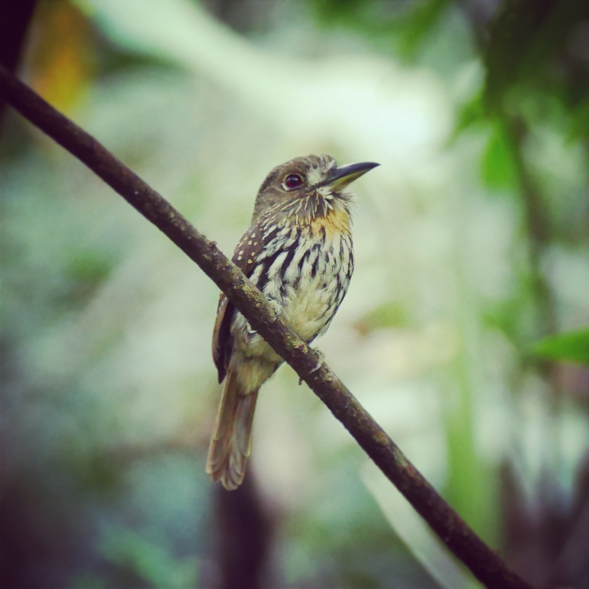 Noah's view of a White-whiskered Puffbird at the San Francisco forest. Noah Strycker