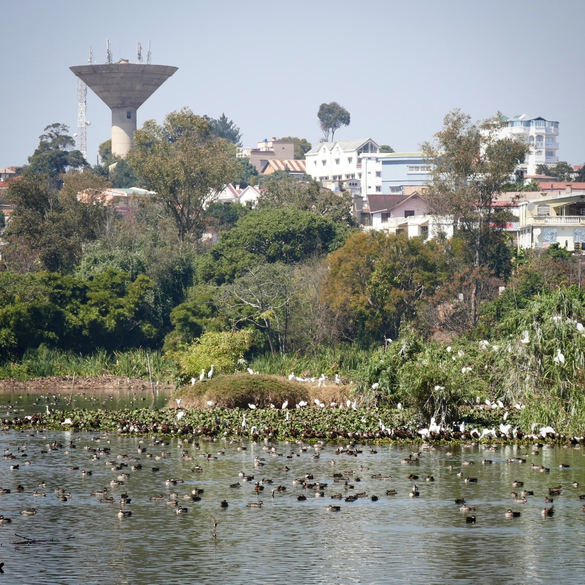 Ducks congregate in an urban park in Antananarivo. Noah Strycker