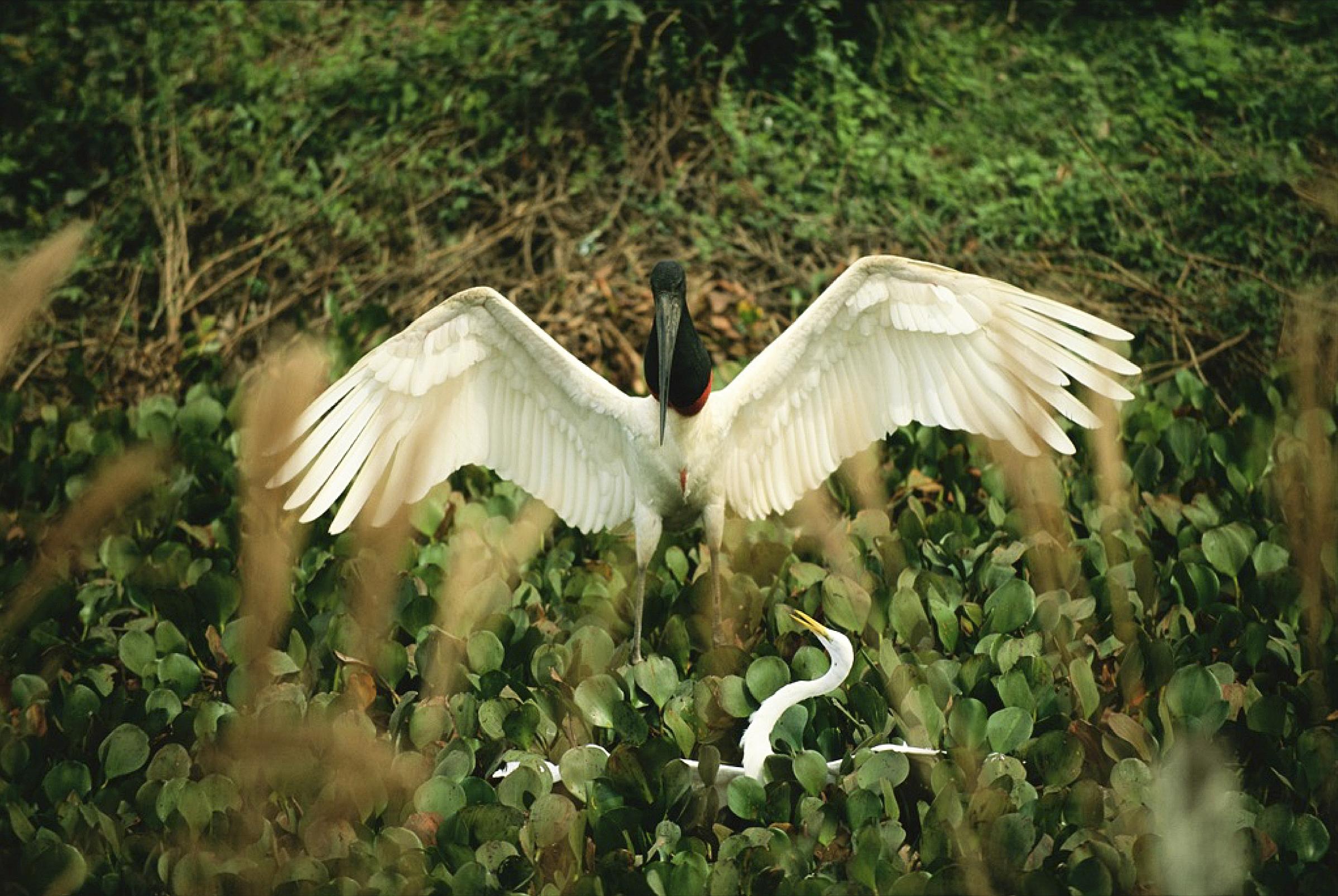 Green anaconda clutching and killing a Great Egret and a Jabiru Stork. Joel Sartore