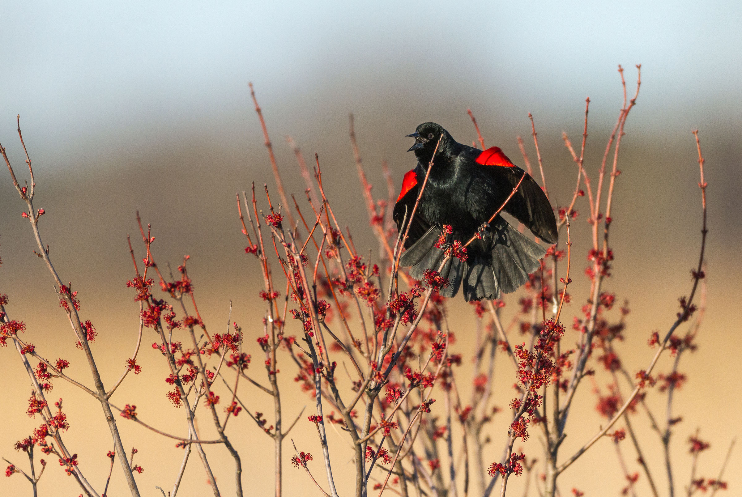 Red-winged Blackbird in Edwin B. Forsythe National Wildlife Refuge, New Jersey. Anthony Cedrone