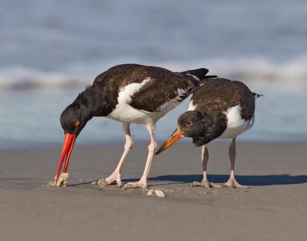 Ostrero Americano. Foto: Nick Palmieri/Premios de Fotografía Audubon