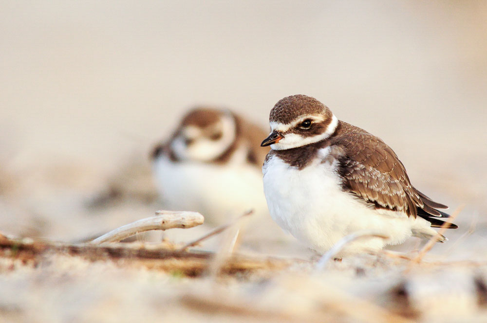 Chorlo Semipalmeado. Foto: Pat Ulrich/Premios de Fotografía Audubon